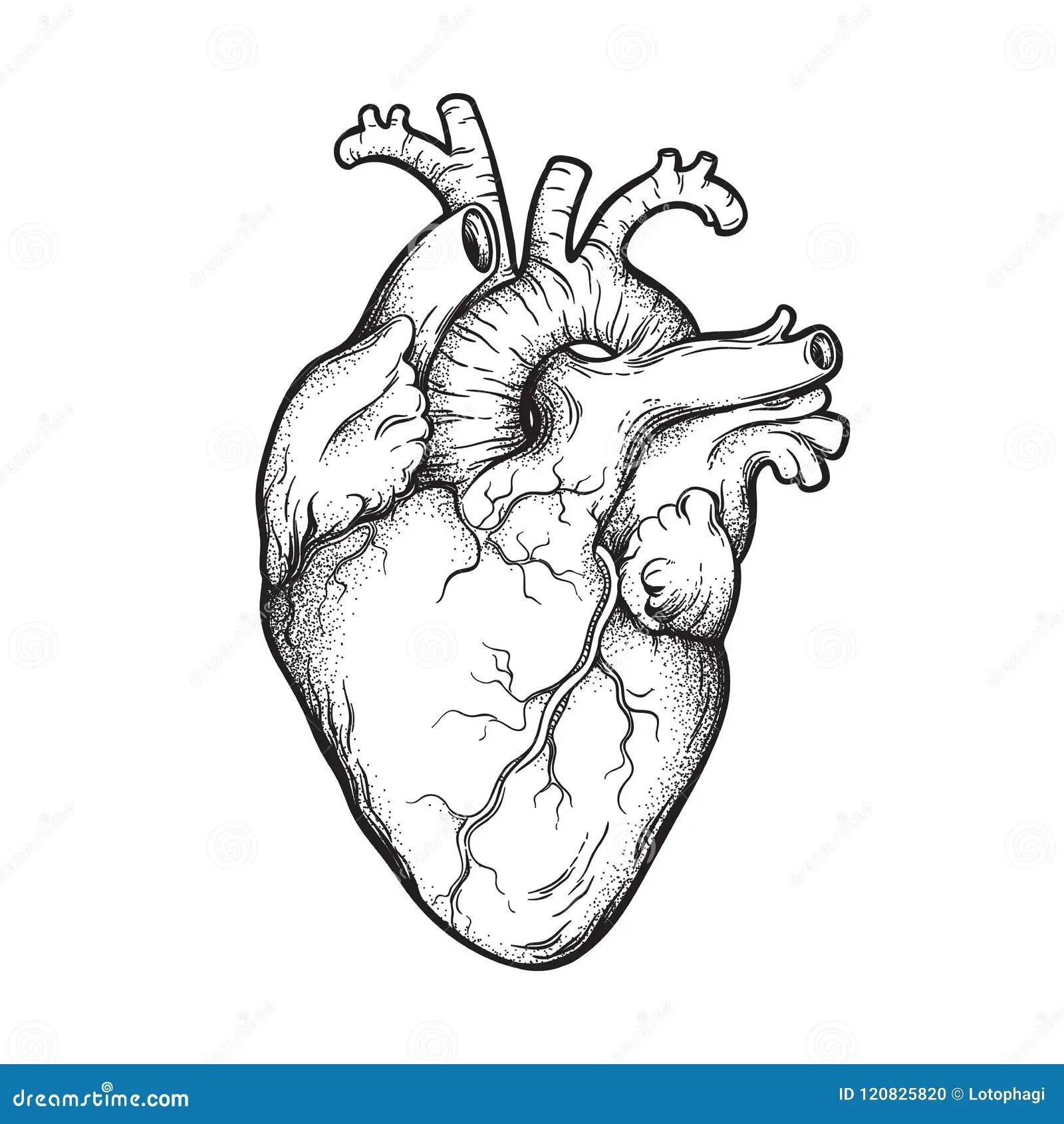 Human Heart Anatomically Correct Hand Drawn Line Art And
