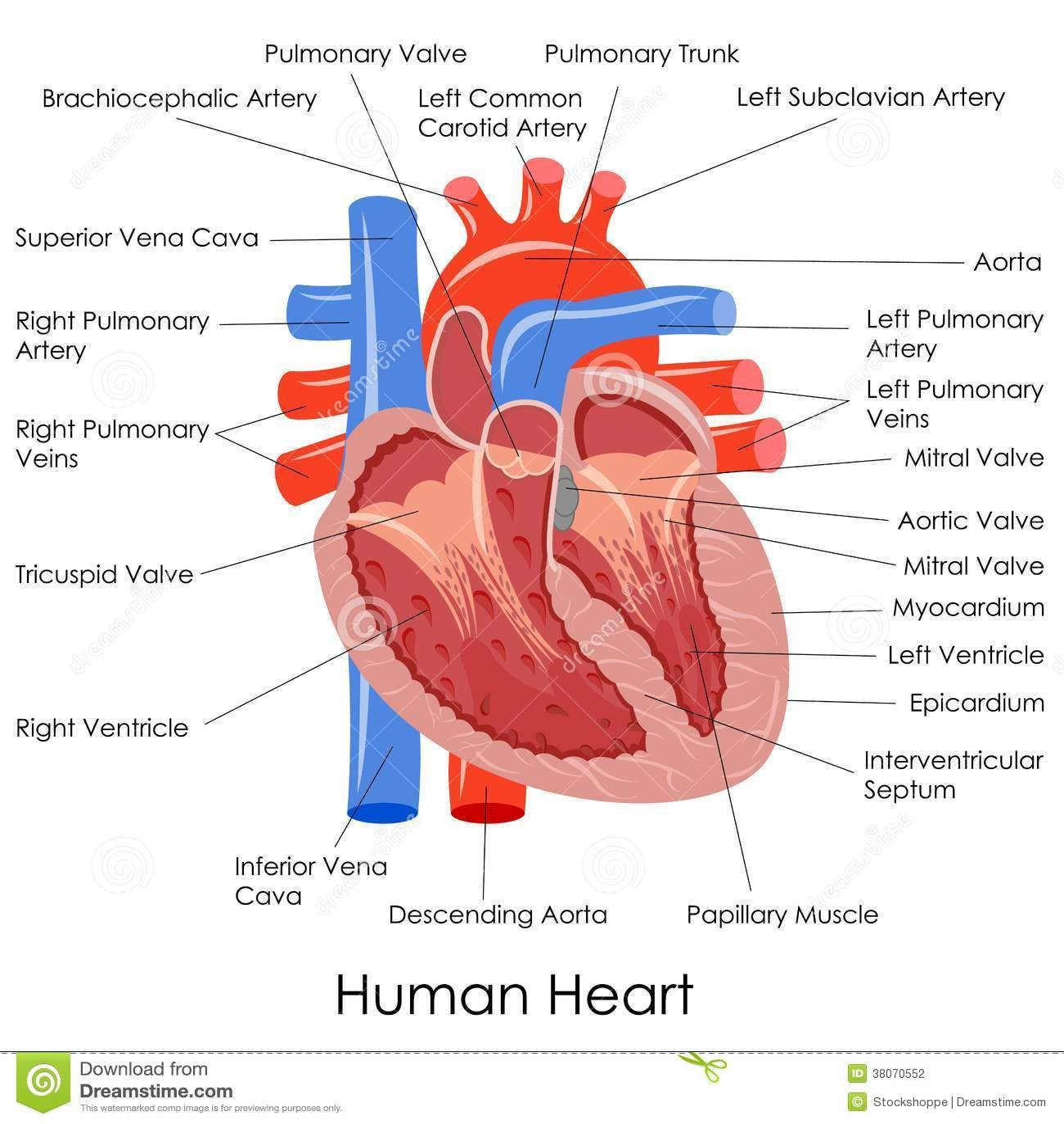 Human Heart Anatomy Stock Vector Illustration Of Anatomy