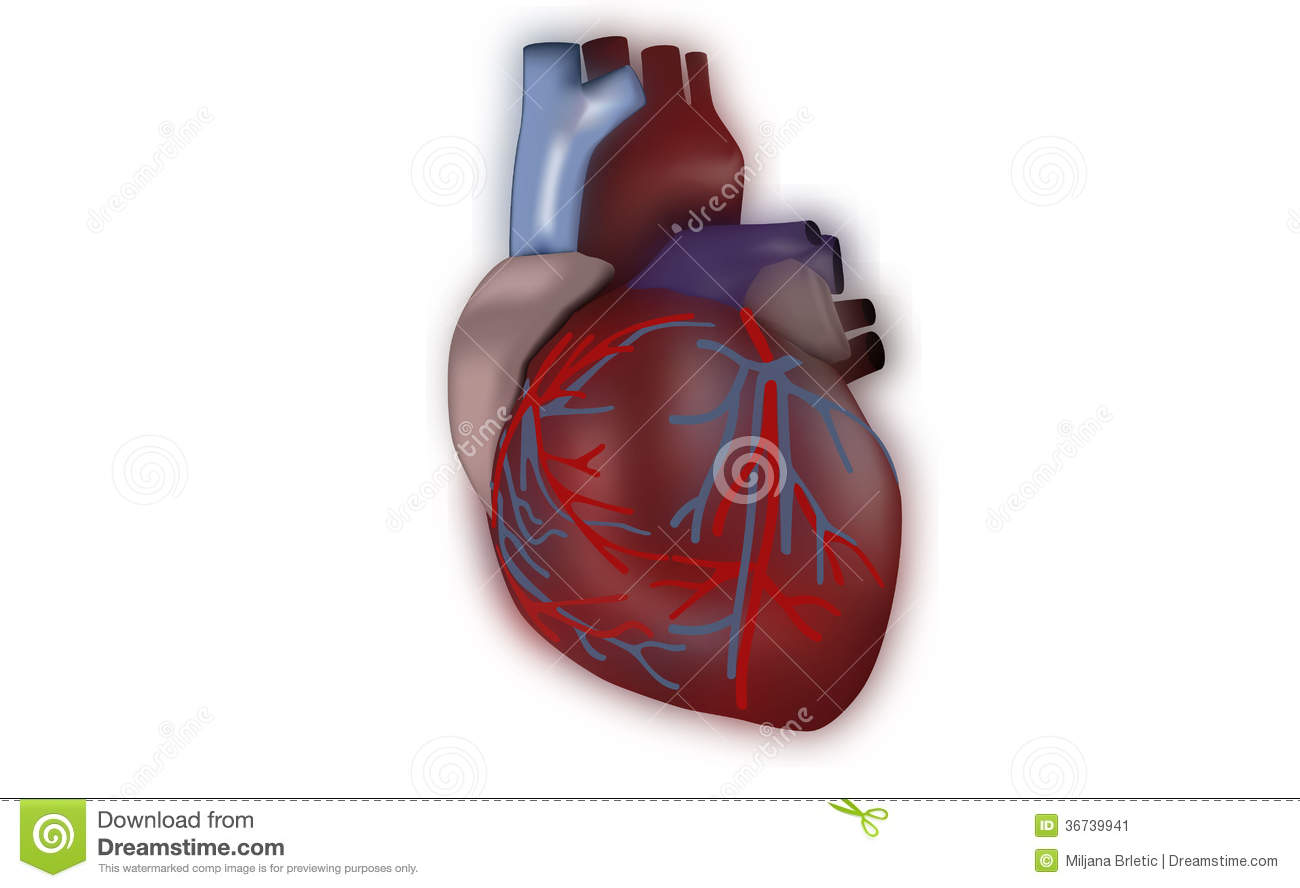 Search Results For Coloured Diagram Of The Heart