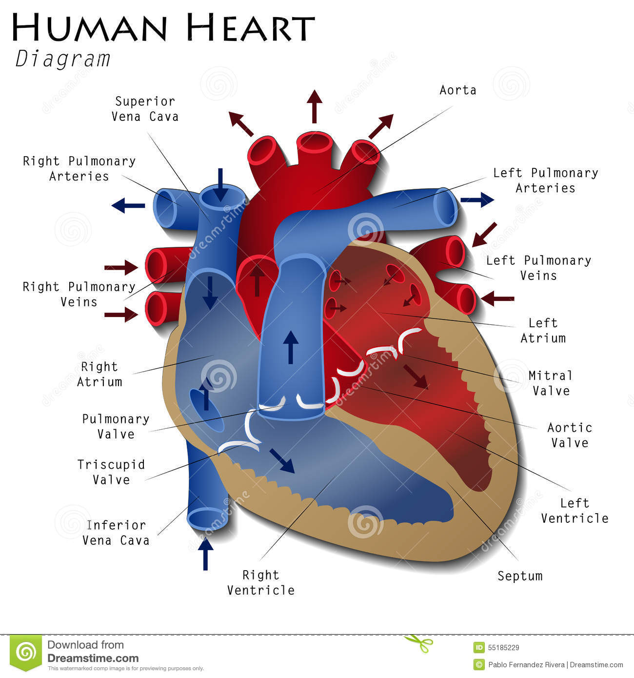Human Heart Diagram Stock Illustration Illustration Of