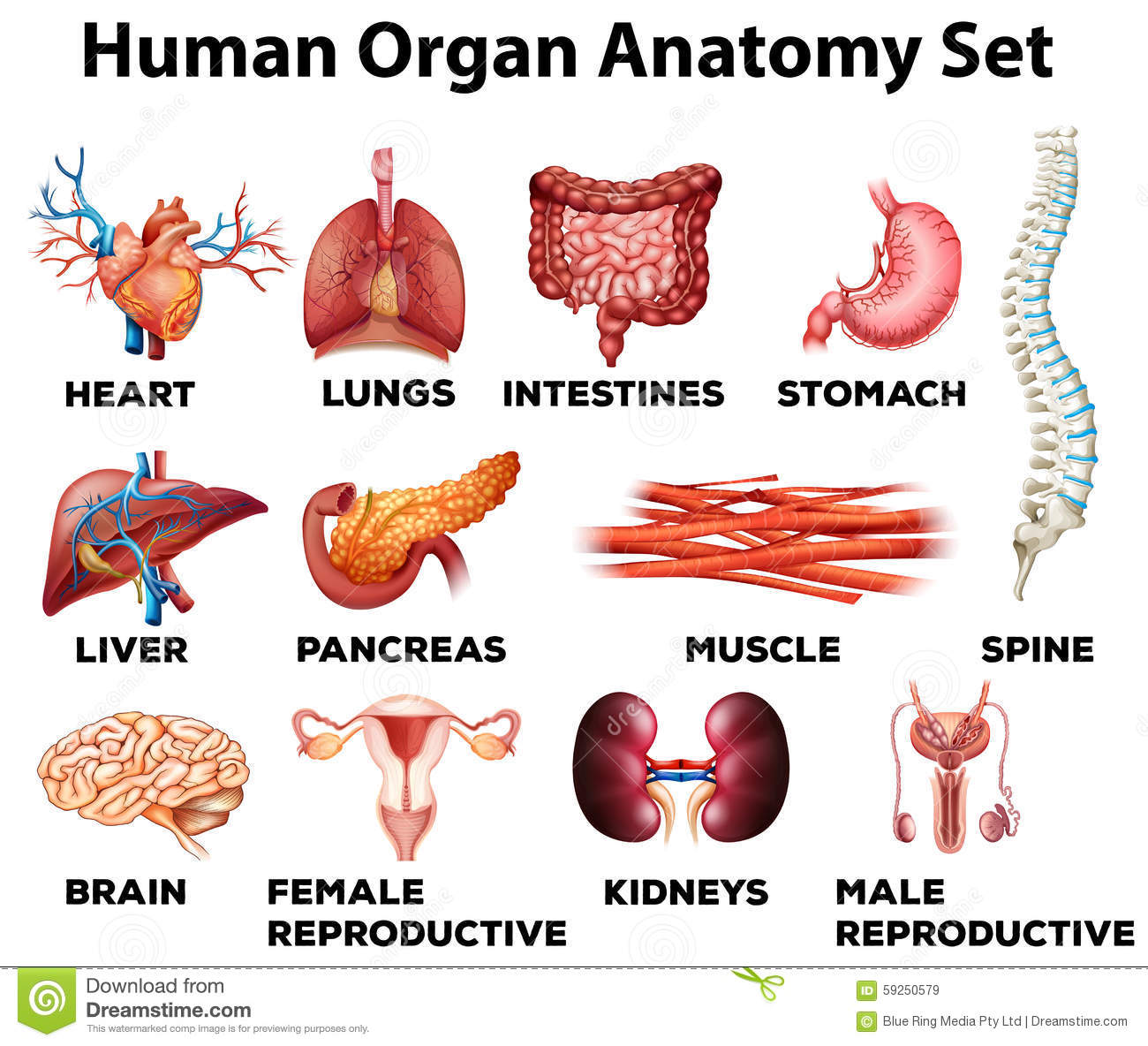 Human Organ Anatomy Set Stock Vector