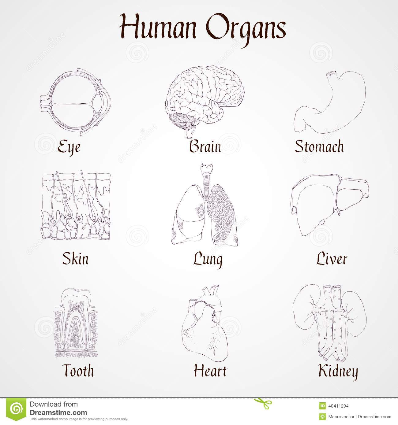Human Organs Icons Stock Vector Illustration Of