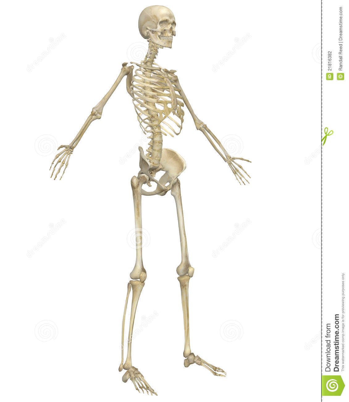 Human Skeleton Anatomy Angled Front View Stock Photography