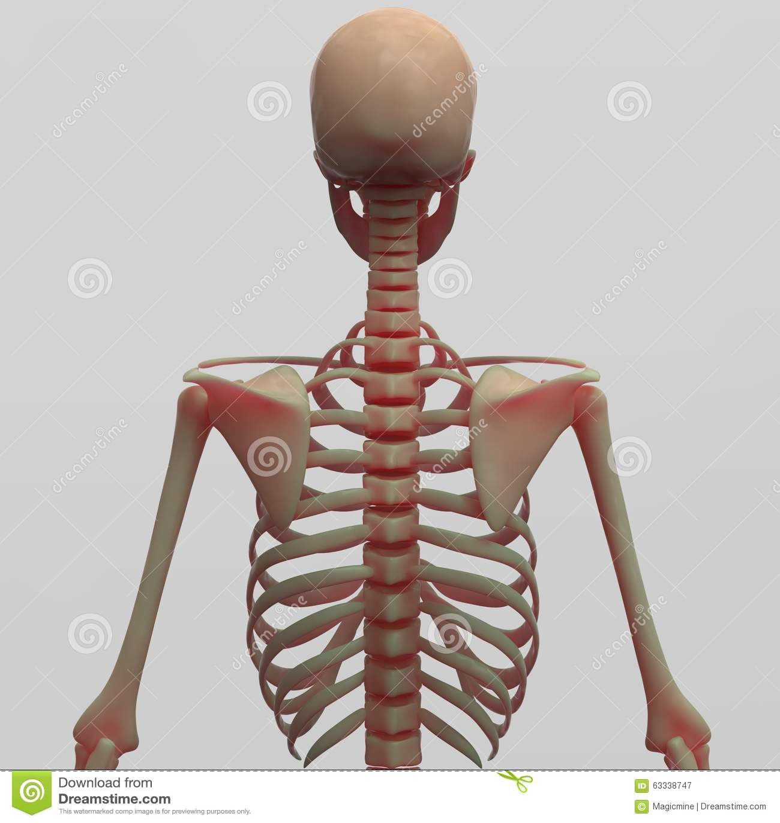 Human Skeleton Ribs Back View