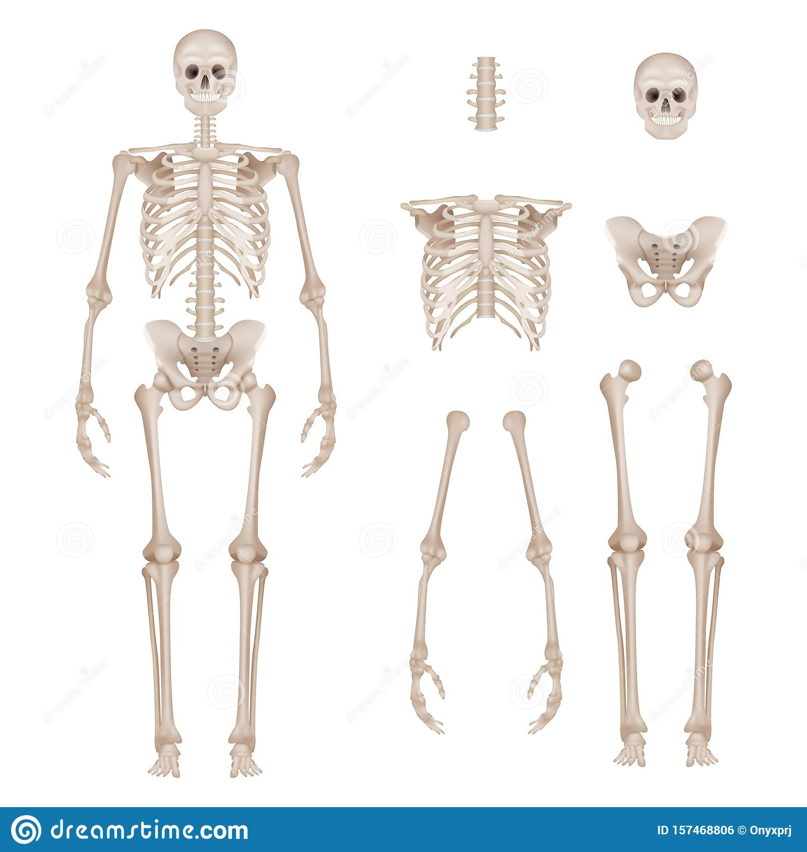 Human Skeleton Body Parts Skull Bones Hands Foot Spine