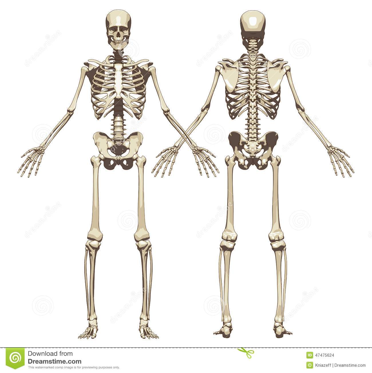 A Human Skeleton Front And Back View Stock Illustration