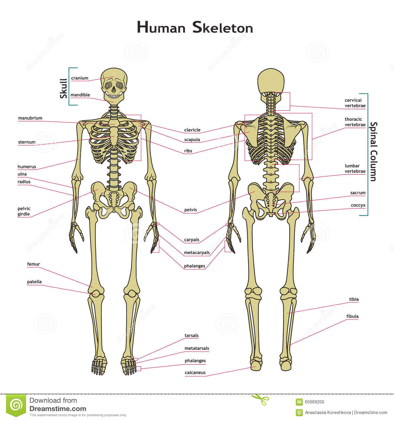 Human Skeleton Front And Rear View With Explanatations
