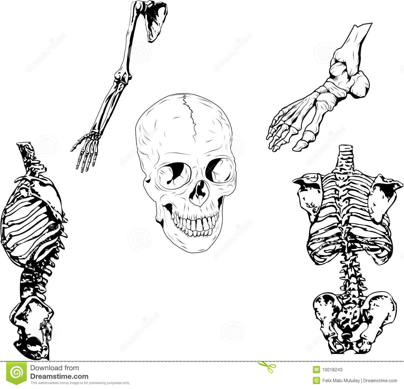 Human Skeleton Illustration Stock Vector
