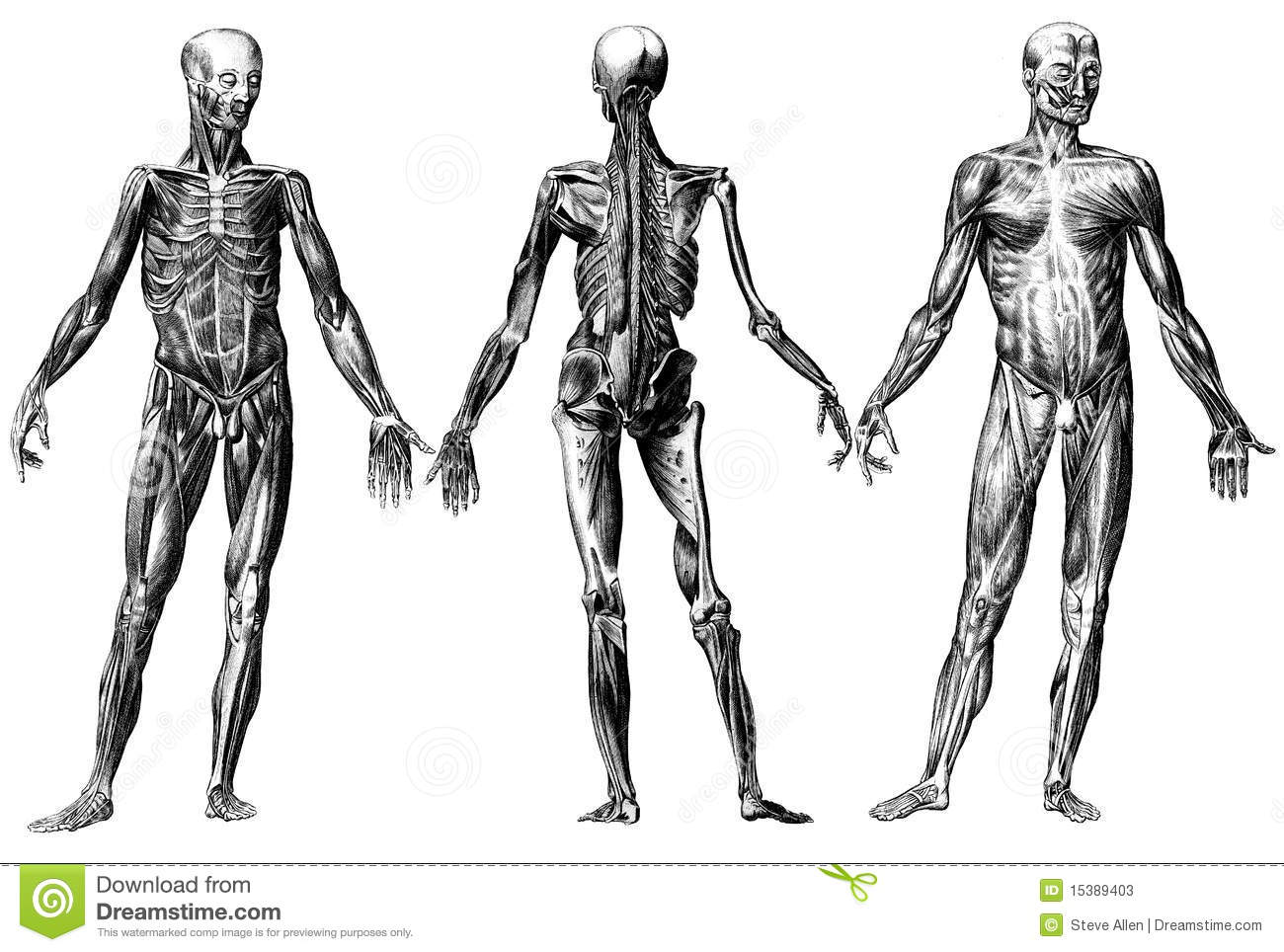 Human Skeleton And Muscles Stock Illustration
