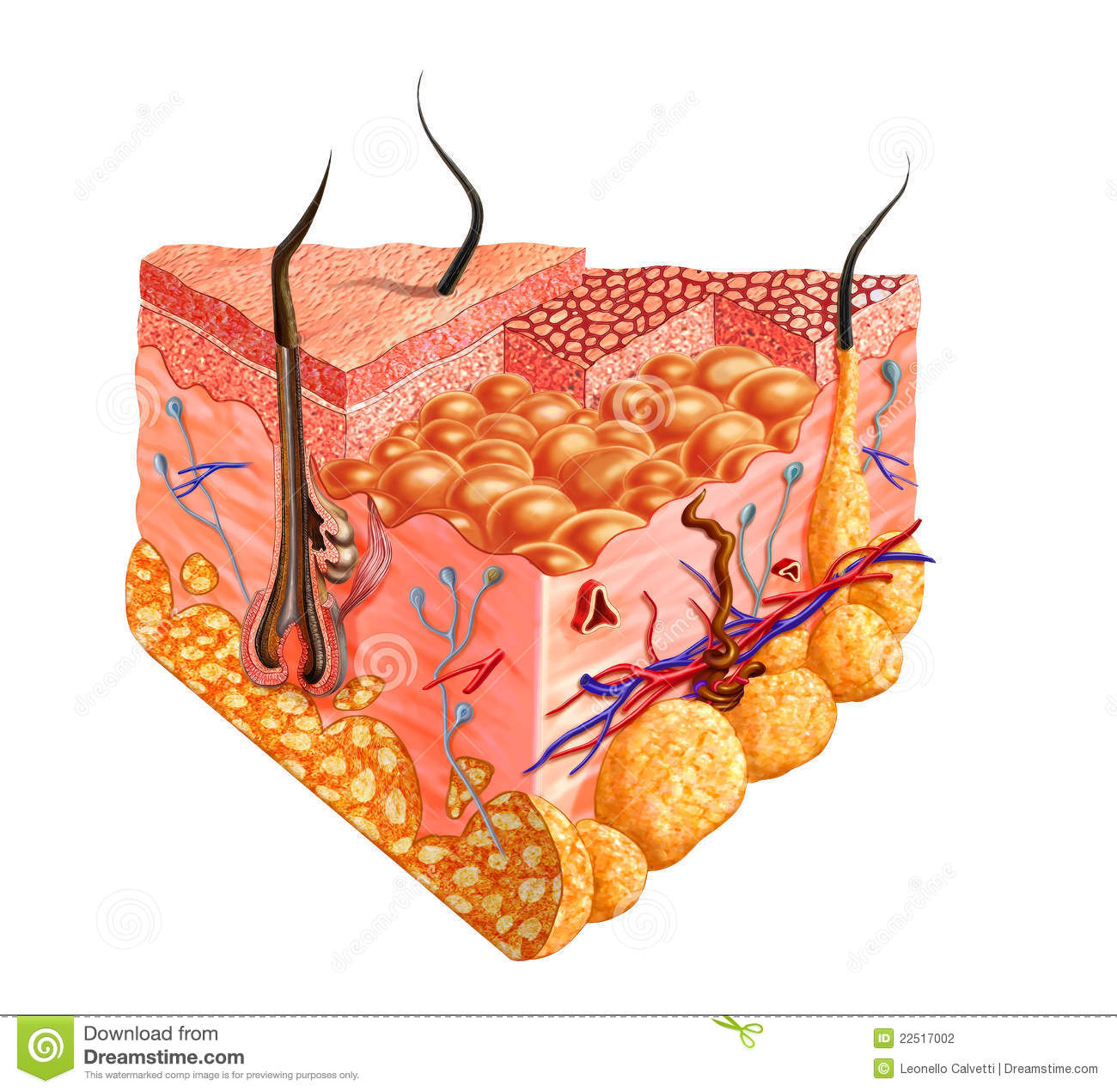 Human Skin Cutaway Diagram With Several Details Stock