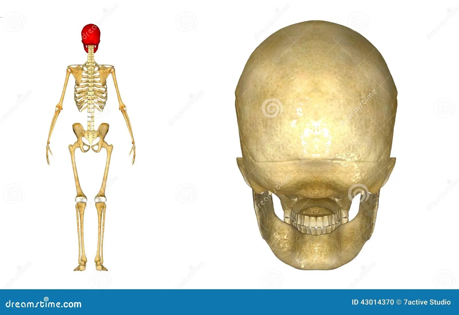 Human Skull Back Stock Illustration