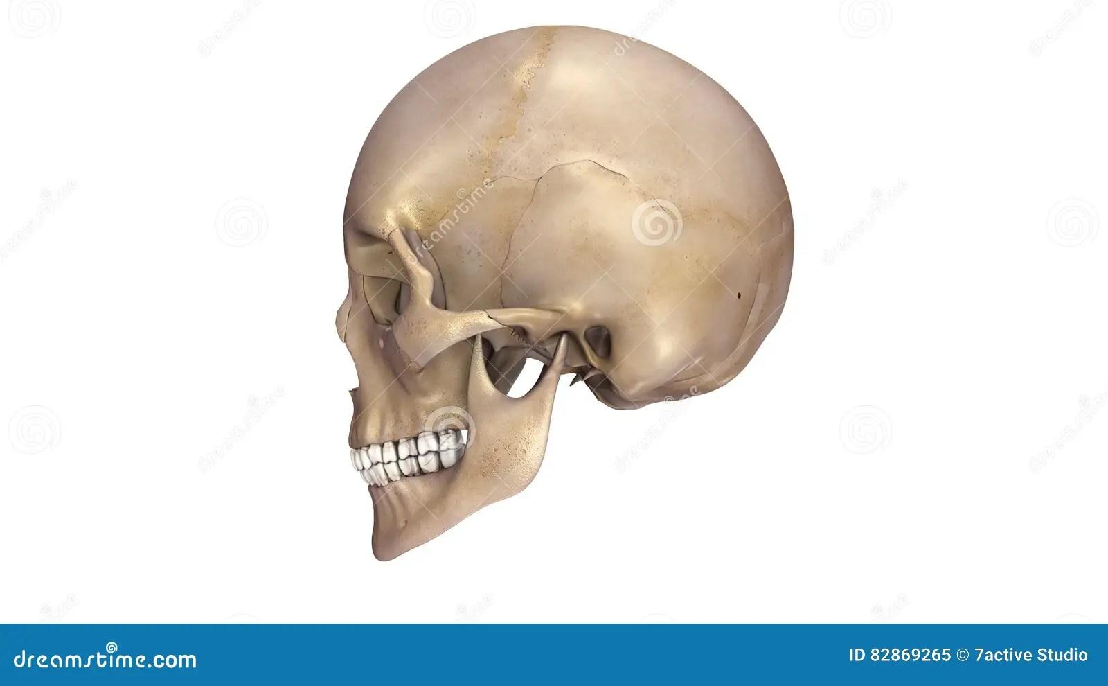 Human Skull Lateral View Stock Illustration Illustration