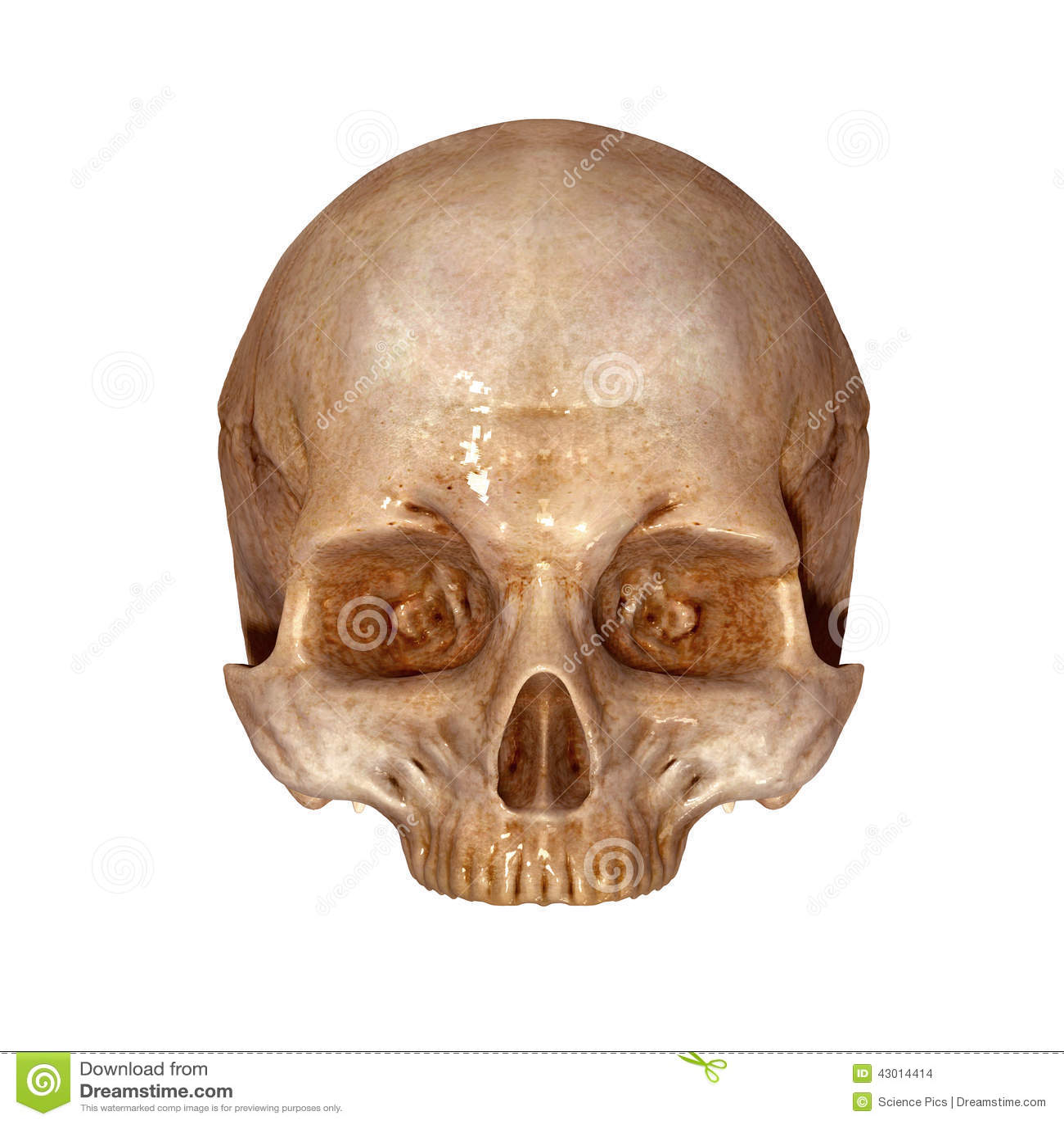 Human Skull Upper Part Stock Photo Image Of Front Bone
