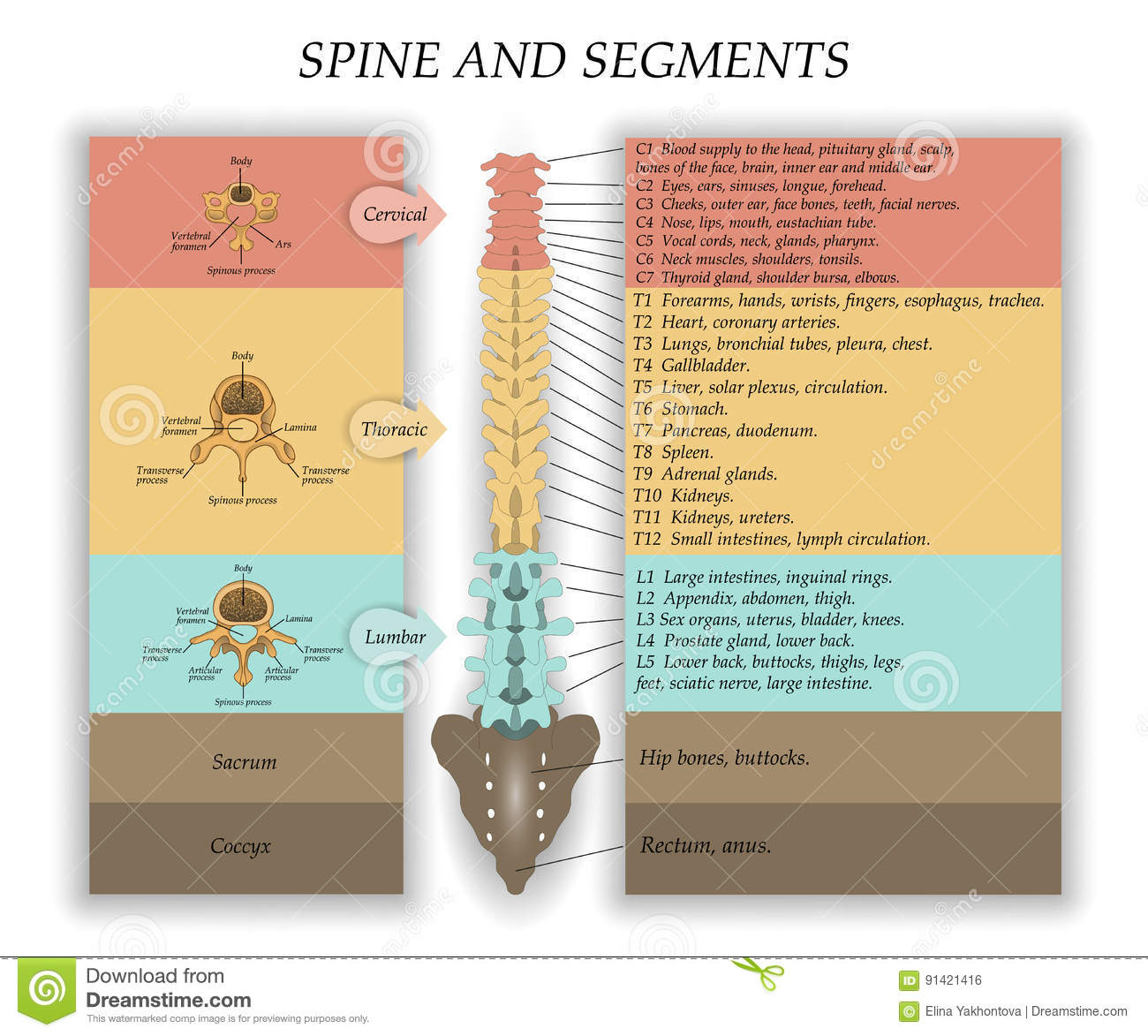 Human Spine In Front Diagram With The Name And Description Of All Sections Of The Vertebrae And