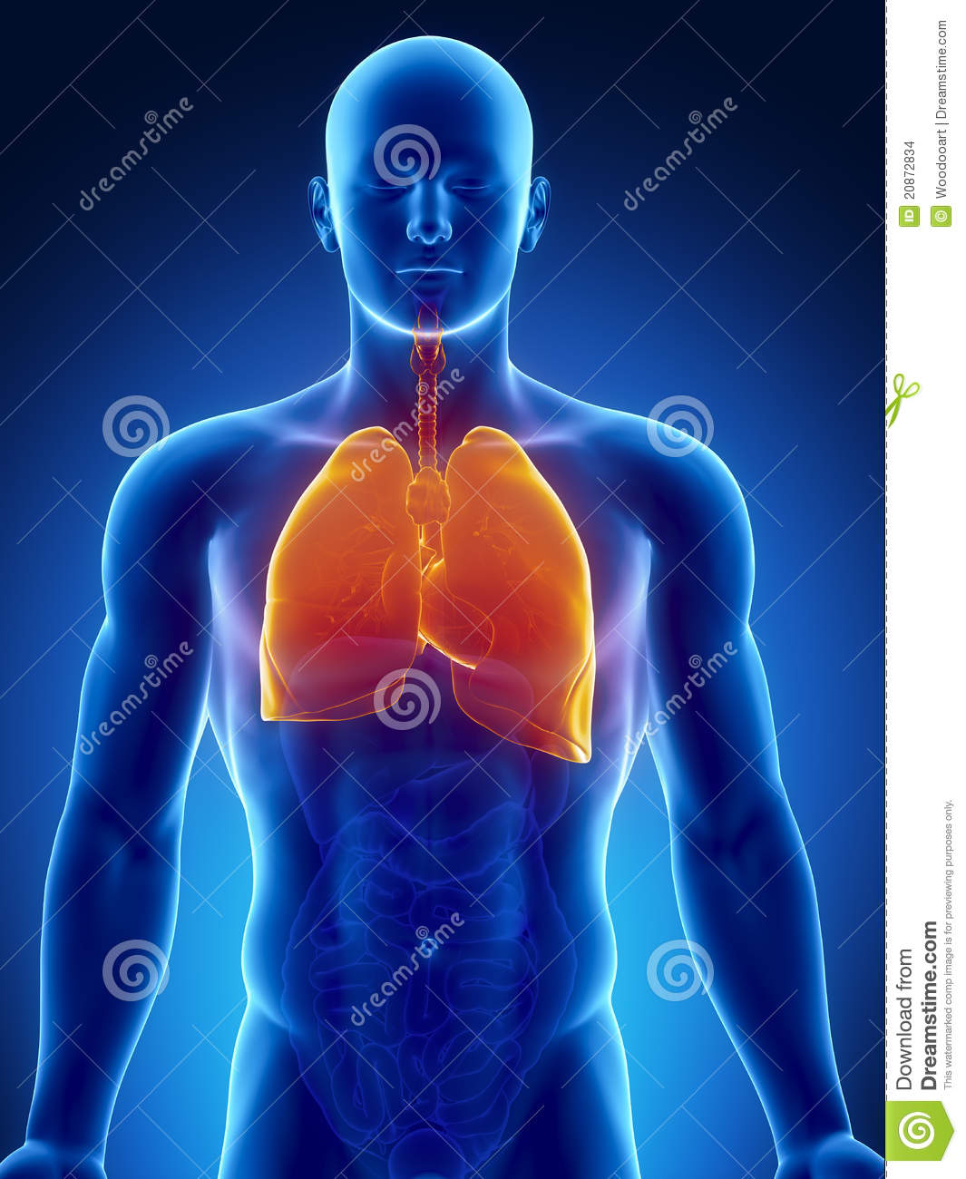 Human Thorax Organs With Lungs And Heart Stock