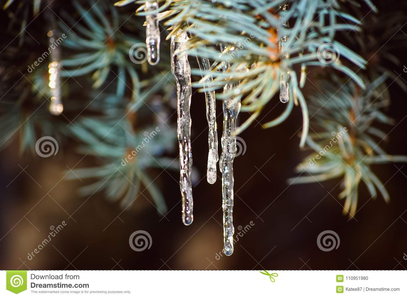 Icicles On The Trees During Melting And Then Again