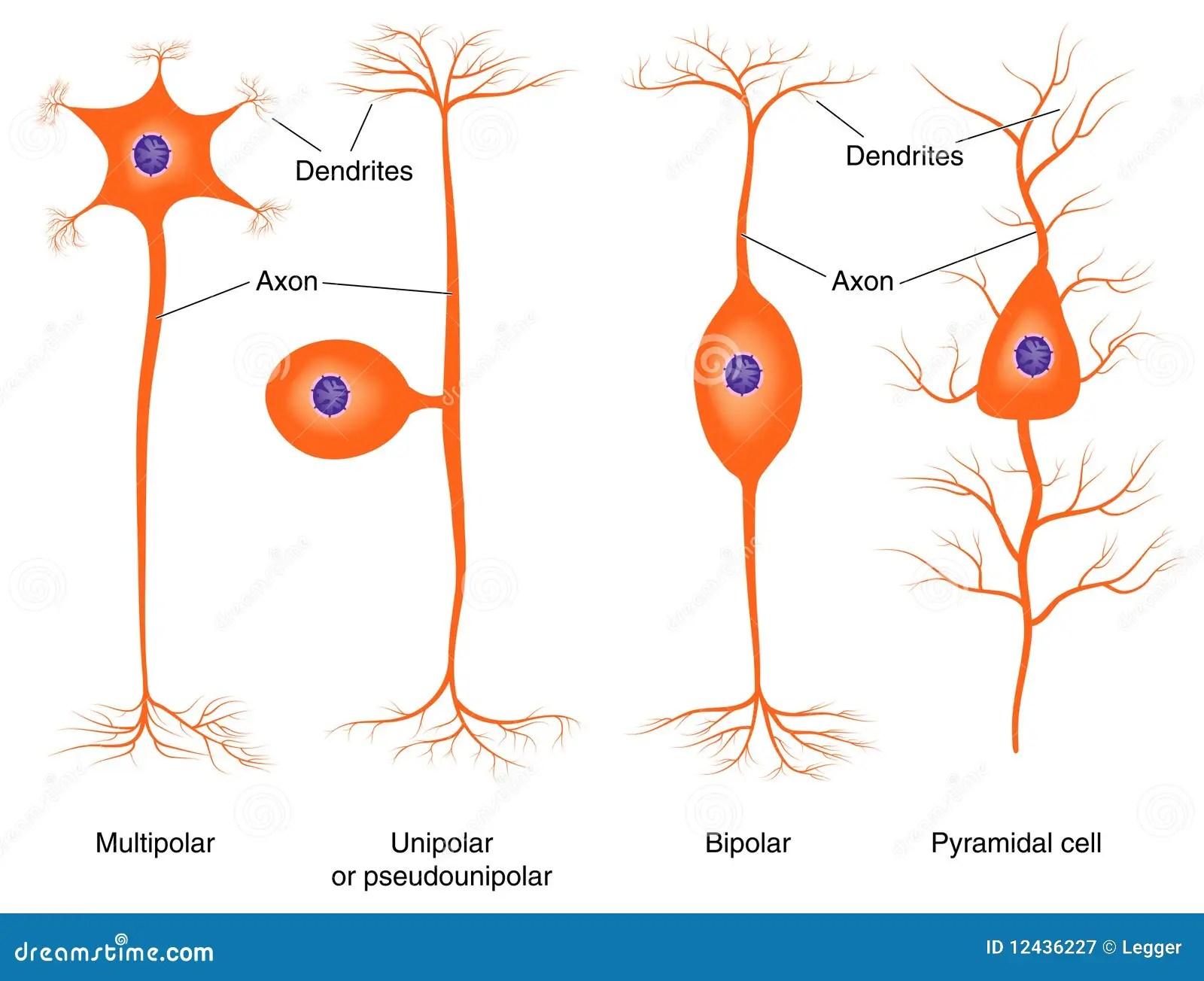 Illustration Of Basic Neuron Types Stock Vector