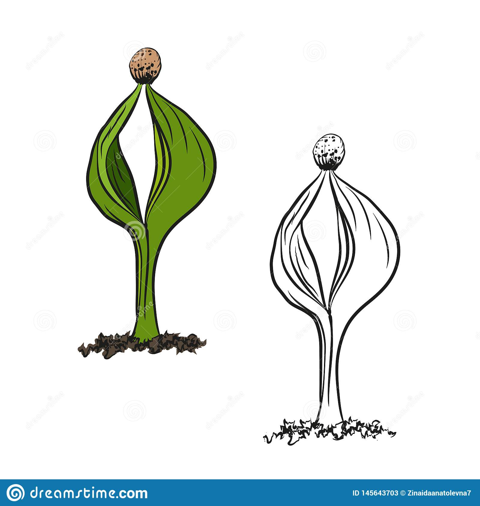 Illustration Of The Contour Of The Germination Of The
