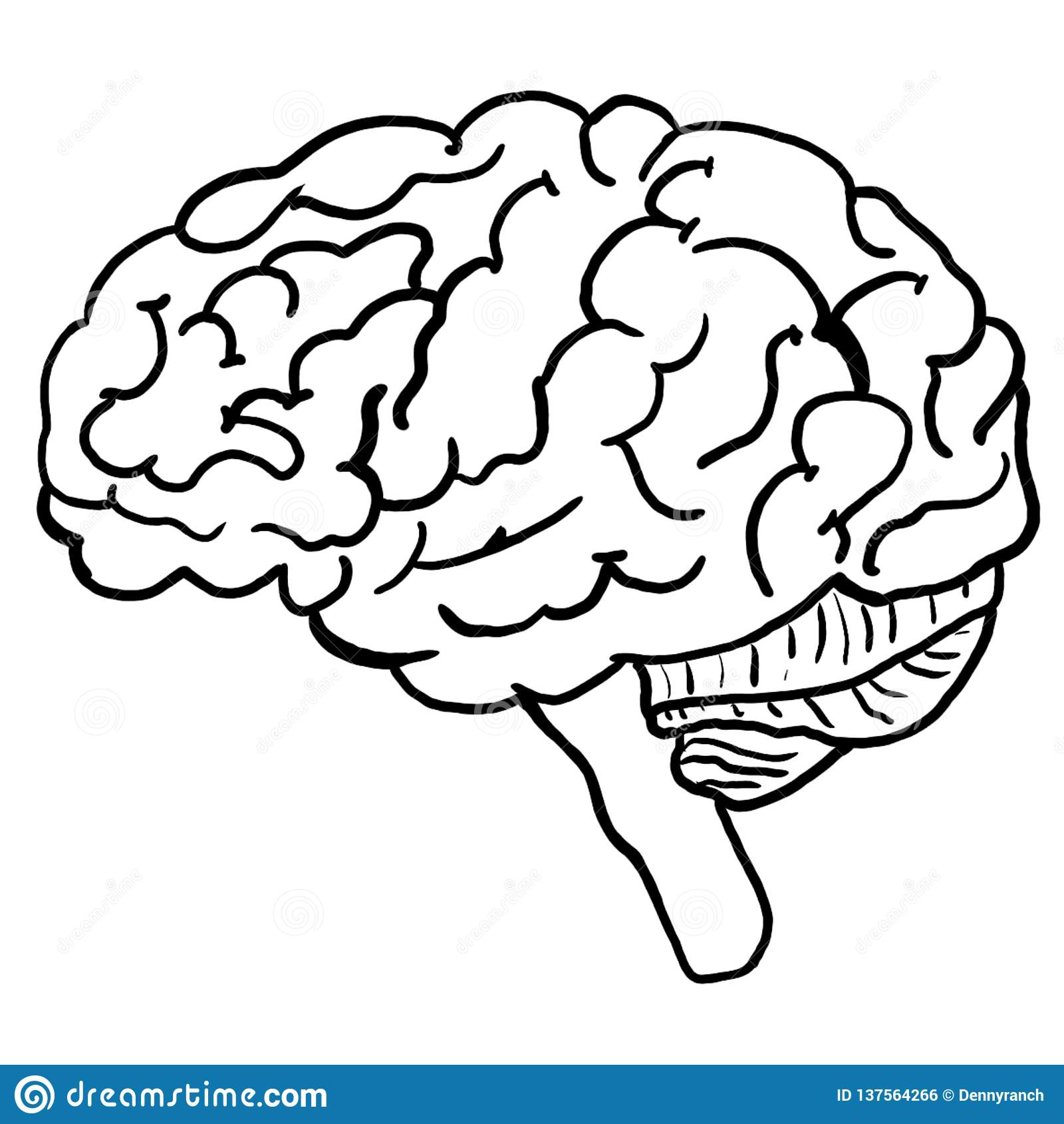 Illustration Of Human Brain Anatomy Coloring Page Stock