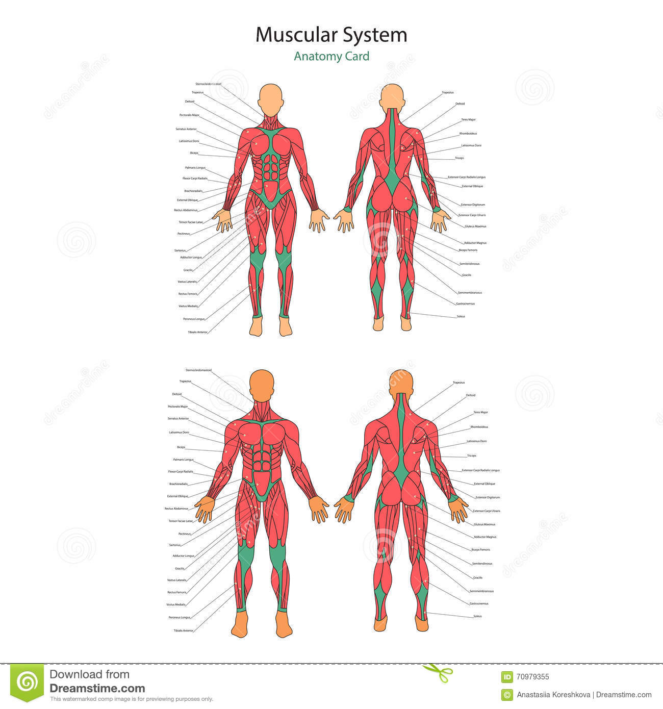 Illustration Of Human Muscles Female And Male Body Gym