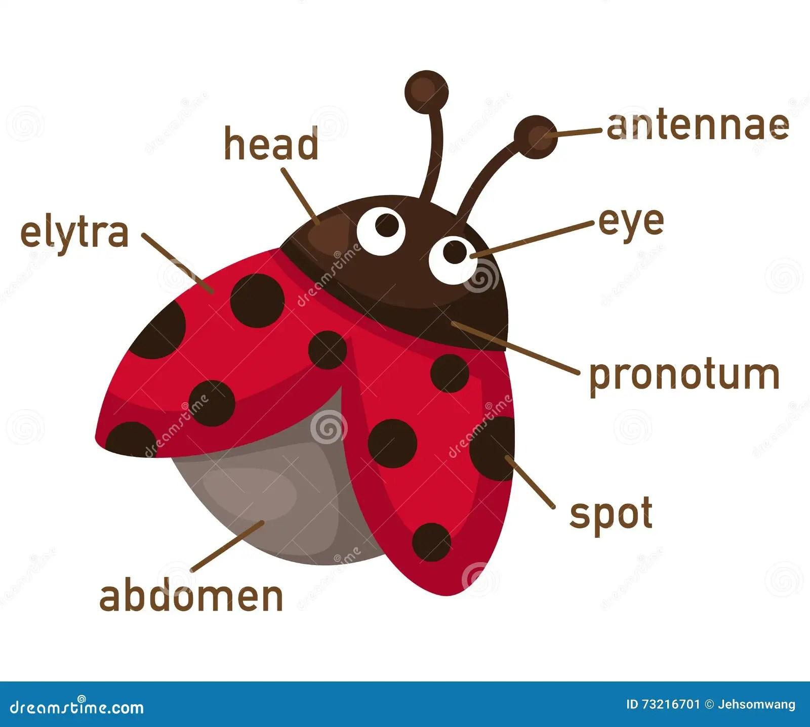 Illustration Of Ladybug Vocabulary Part Of Body Stock