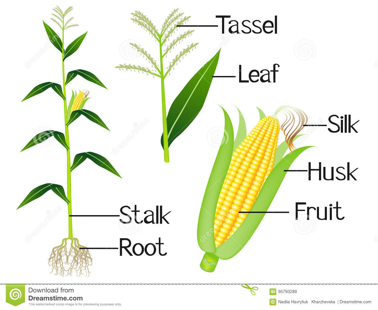 The Illustration Shows Part Of The Corn Plants Stock