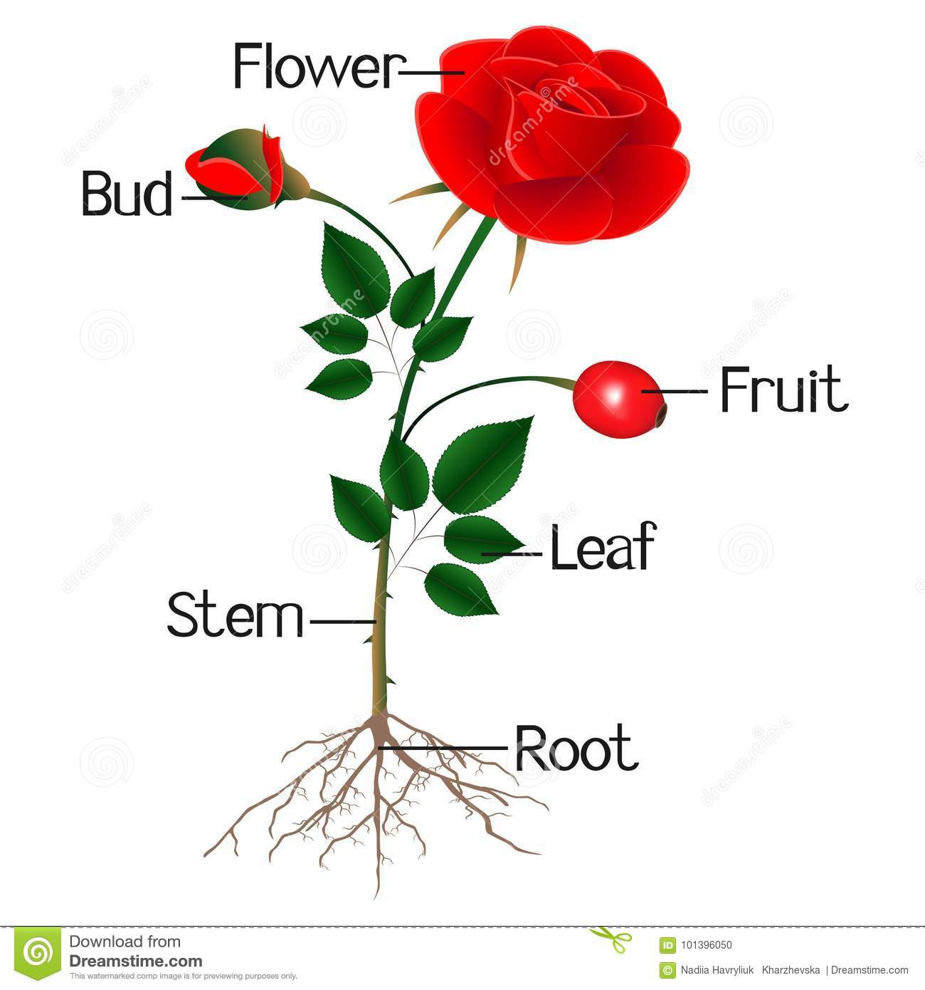 The Illustration Shows Part Of The Rose Plant Stock