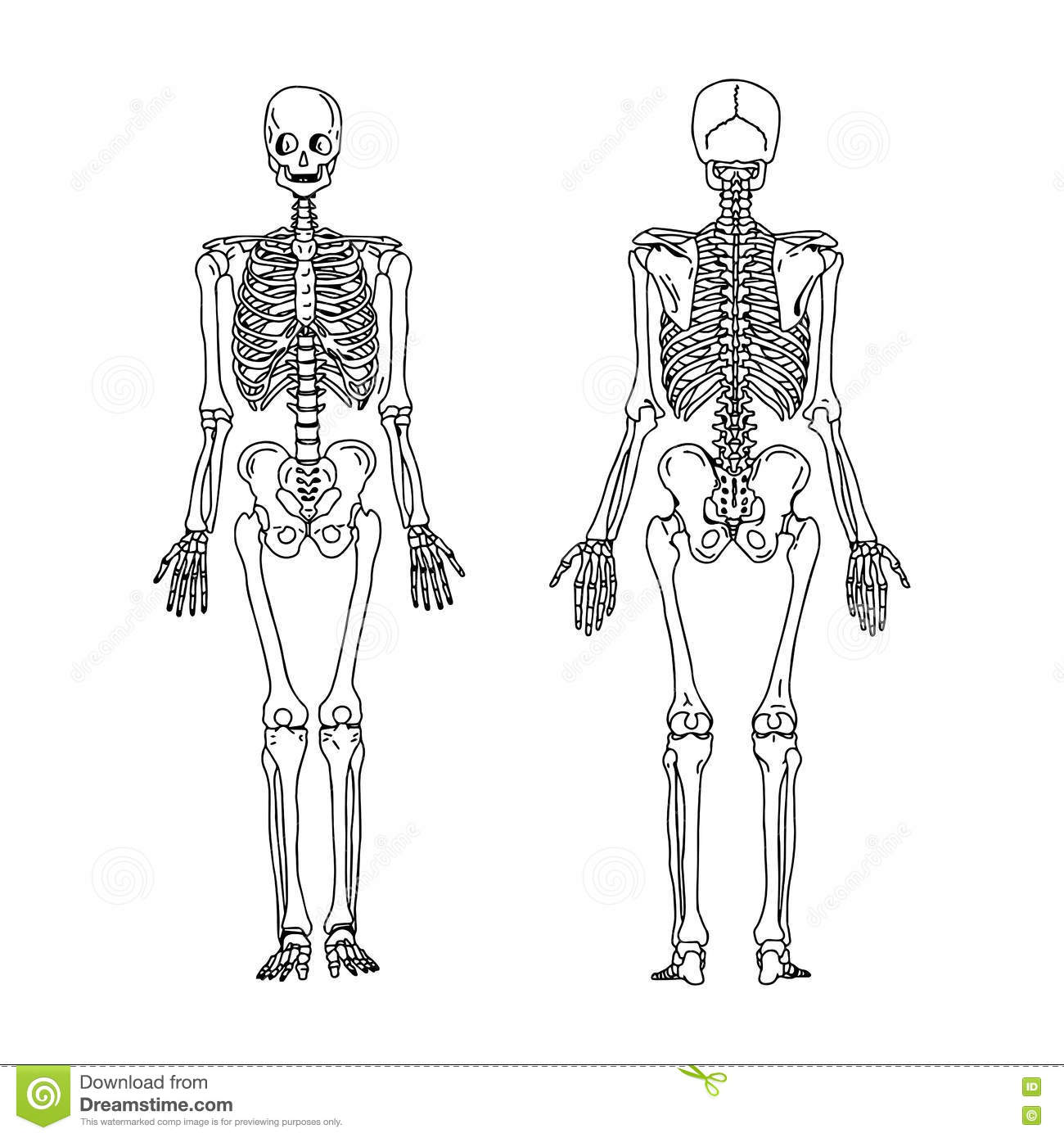 Unlabeld Human Skeleton Worksheet