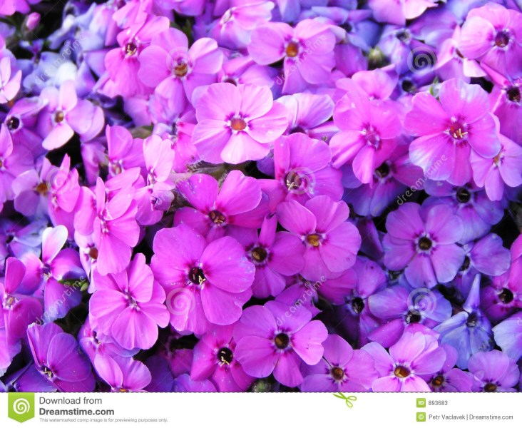 Image Full Of Violet Flowers Stock Image   Image of gardening  macro     Image full of violet flowers