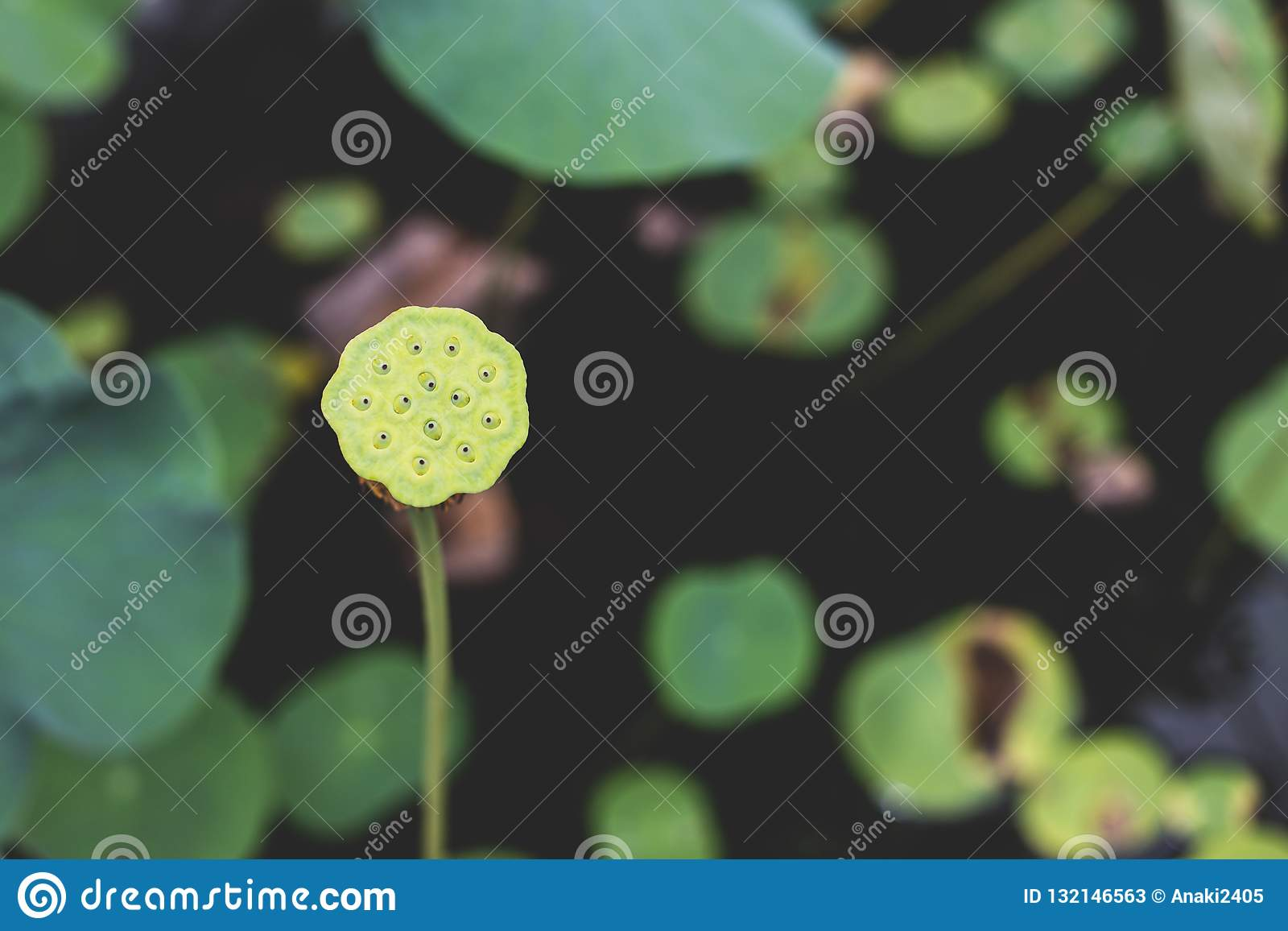 Image Of A Single Tall Green Lotus Stem Seeds And Pod