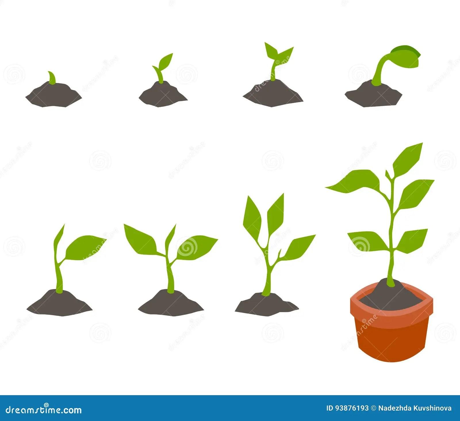 Bean Seed Germination Diagram