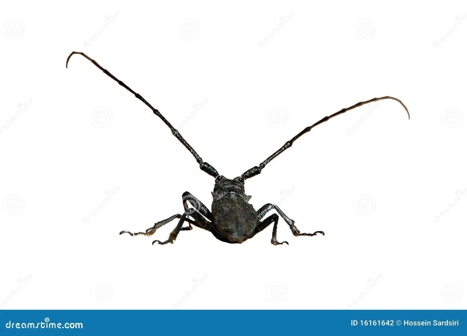 Isolated Big Black Bug Stock Photo Image Of Long Insect