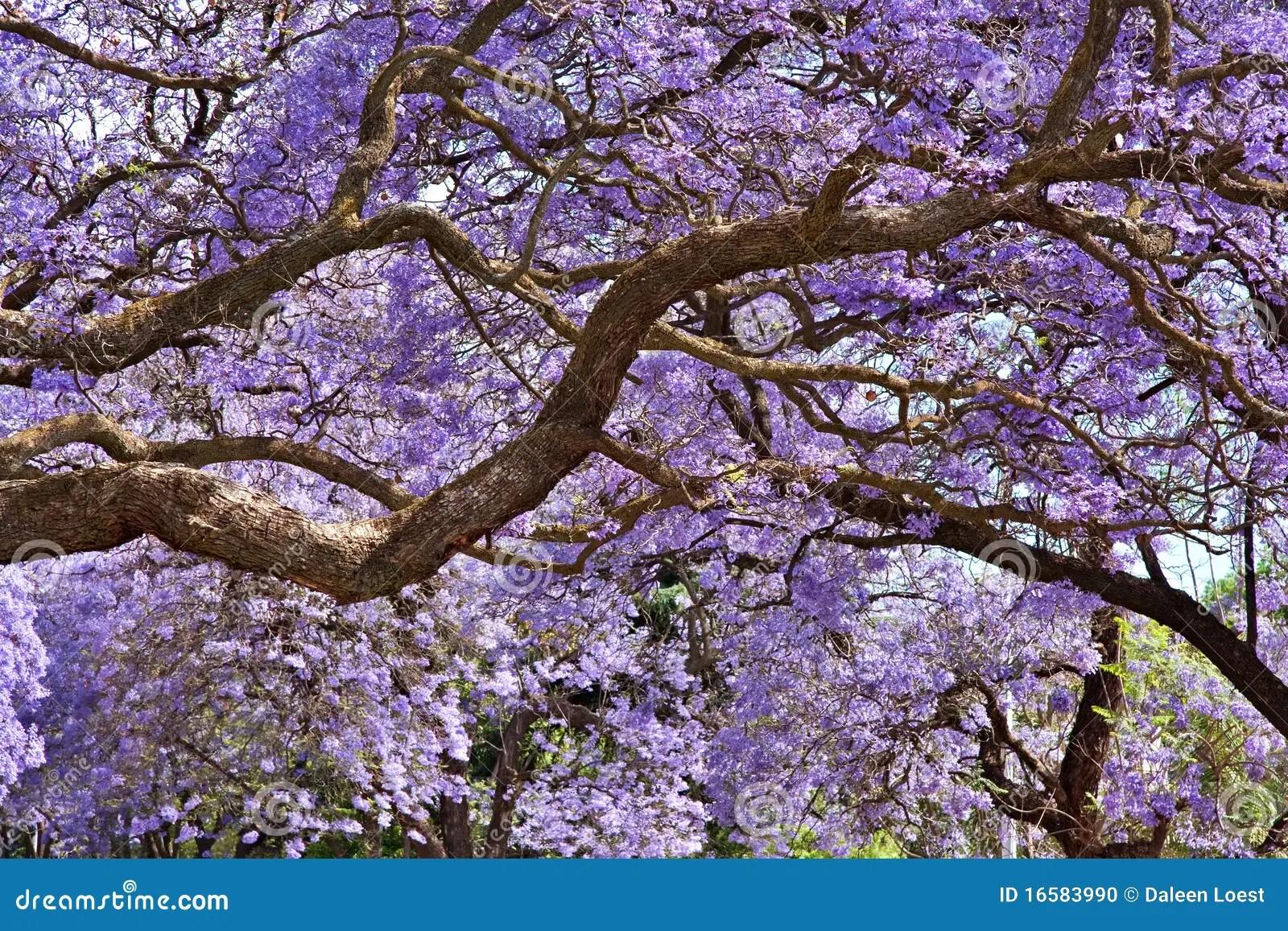 Jacaranda Trees Stock Photo Image Of Foliage Beautiful
