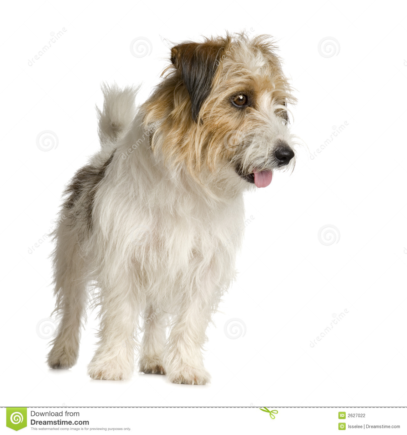 Jack Russel Long Haired Stock Photo Image Of Haired