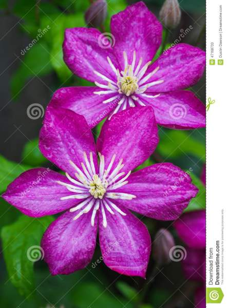 Japanese Clematis Flower stock image  Image of flowers   47168733 Japanese Clematis Flower