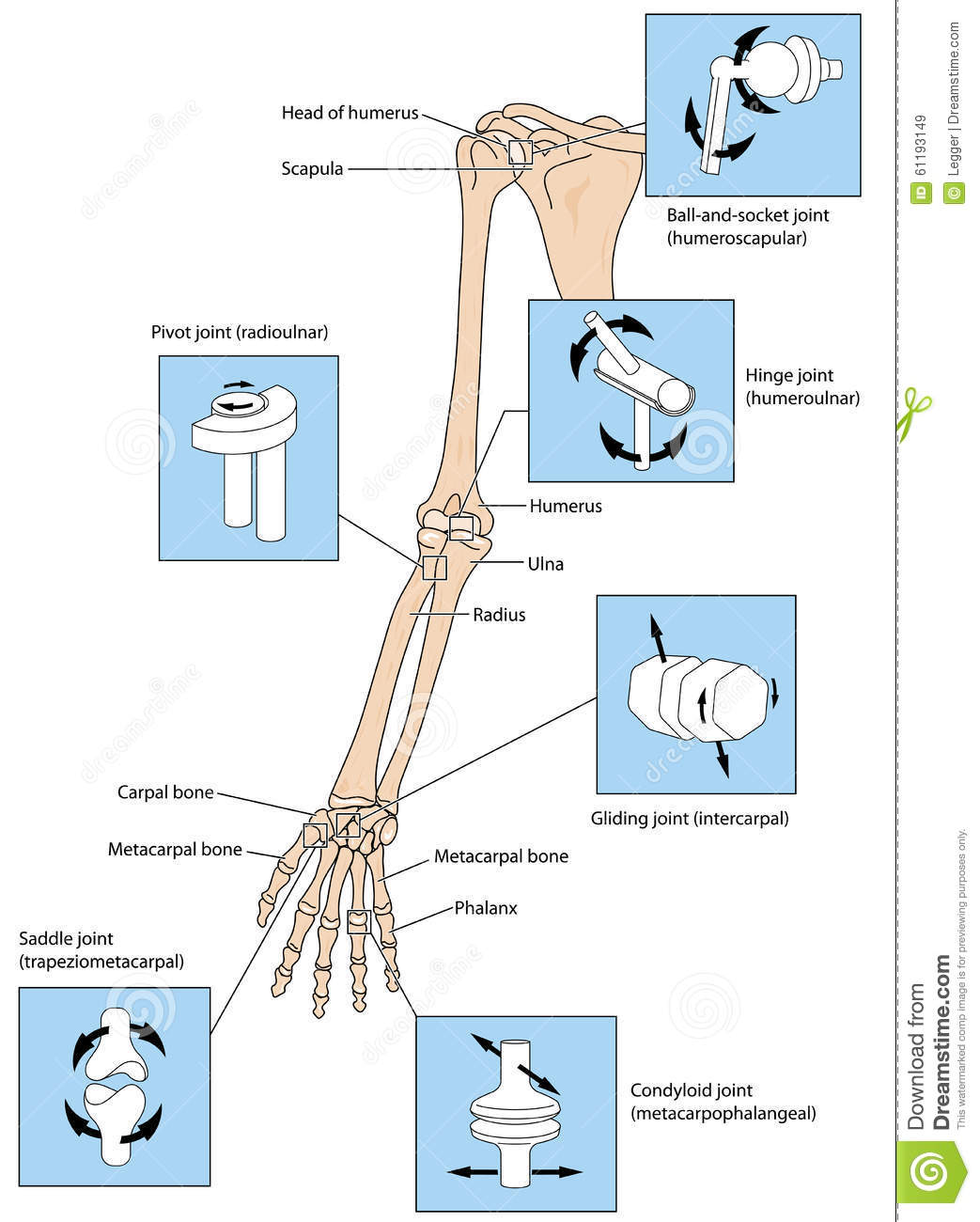 Joint Types In The Upper Limb Stock Vector