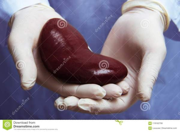 Kidney Transplant Surgery Concept. Real Kidney Is In Hands ...