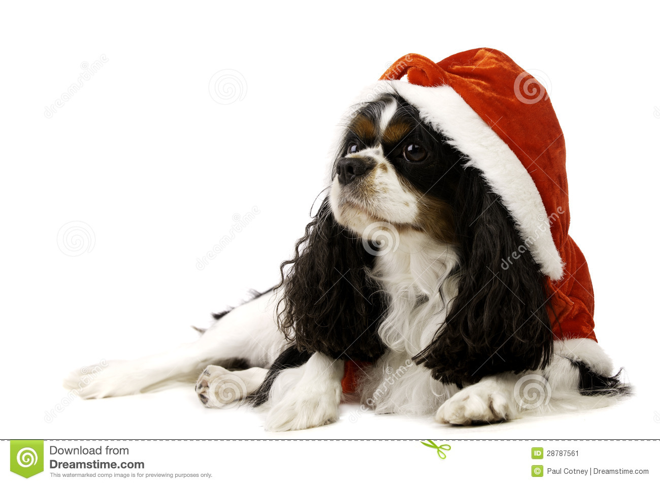 King Charles Spaniel Dog Wearing A Christmas Hat Stock