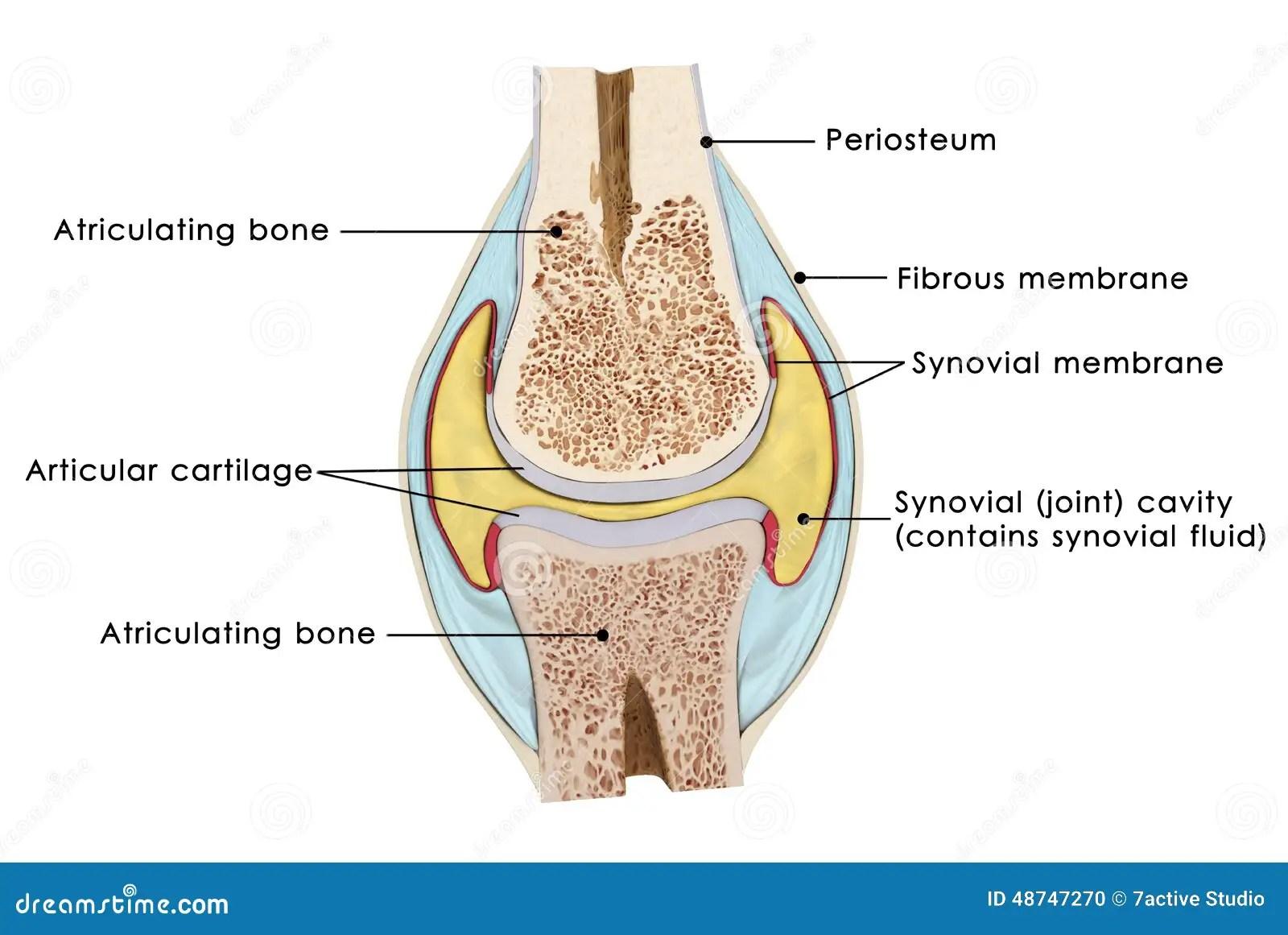 Knee Bursae Stock Illustration