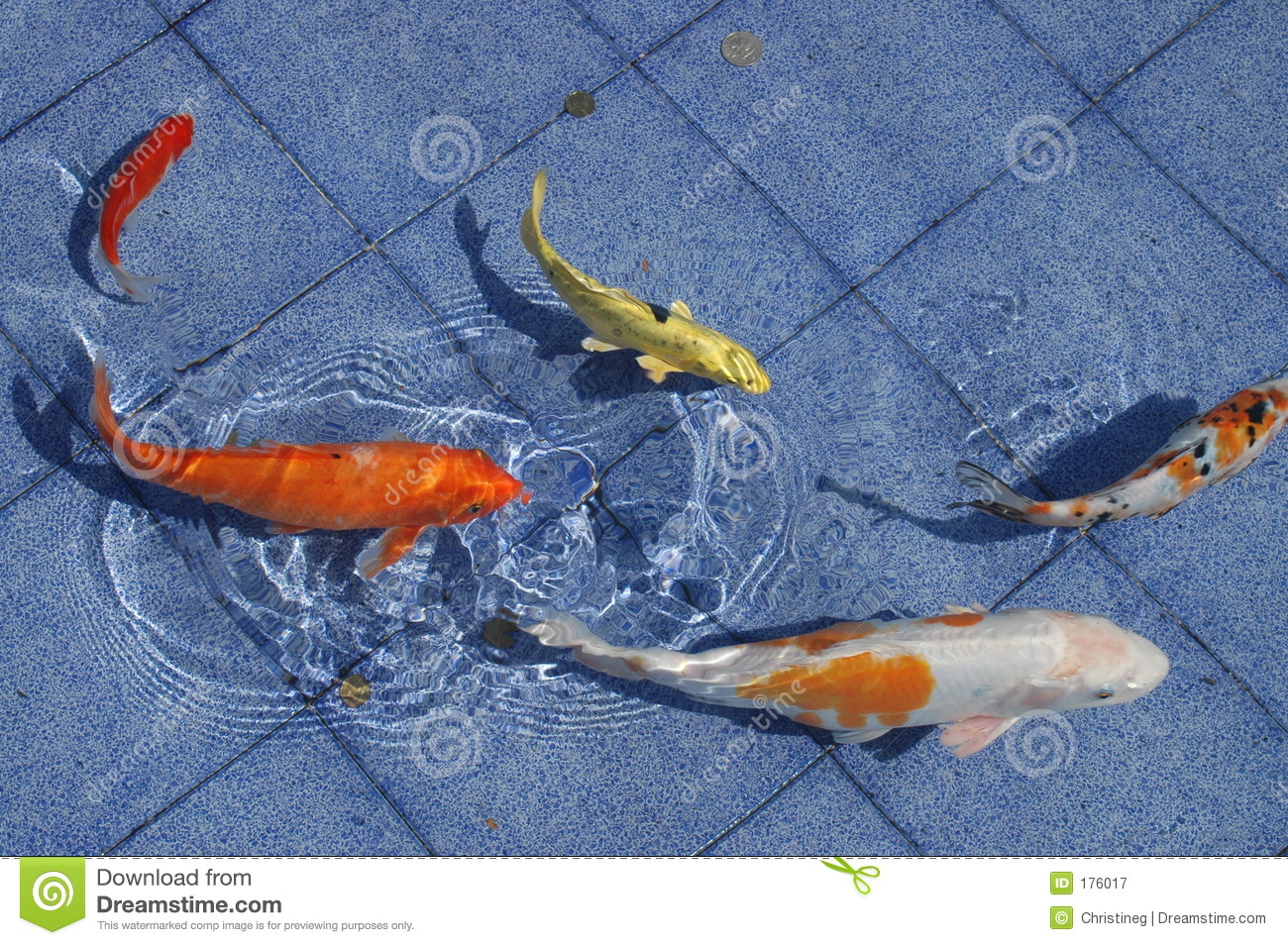 Koi Fish In A Blue Pool Royalty Free Stock Photography