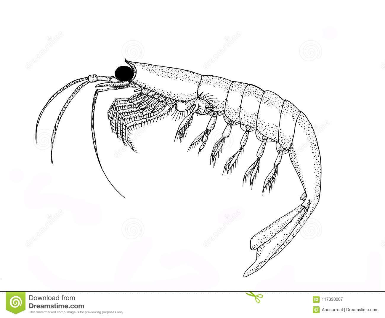 Krill Back And White Hand Drawn Image Stock Illustration