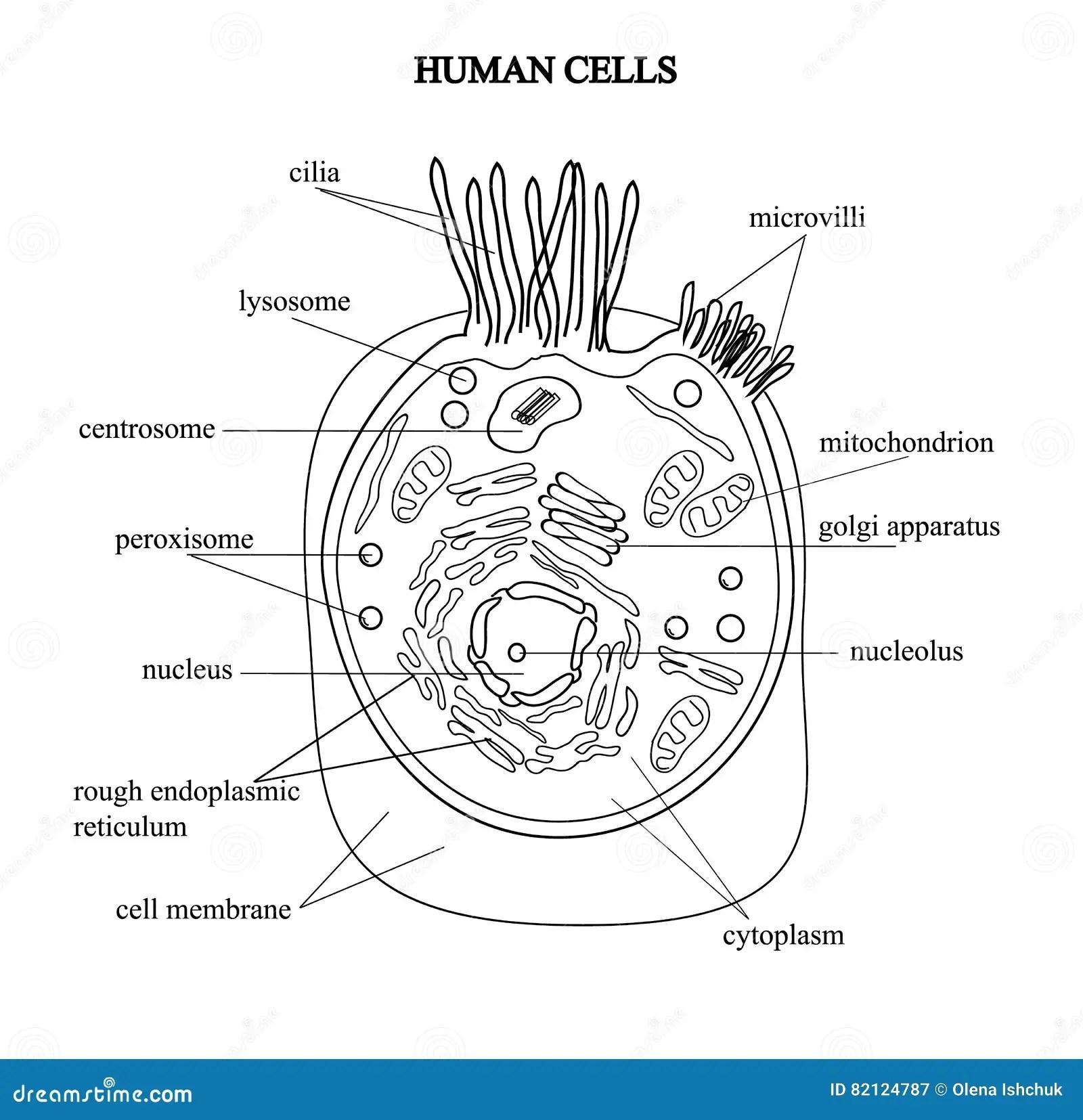 La Estructura De Las Celulas Humanas En Una Imagen Grafica Componentes De La Celula En Un Fondo