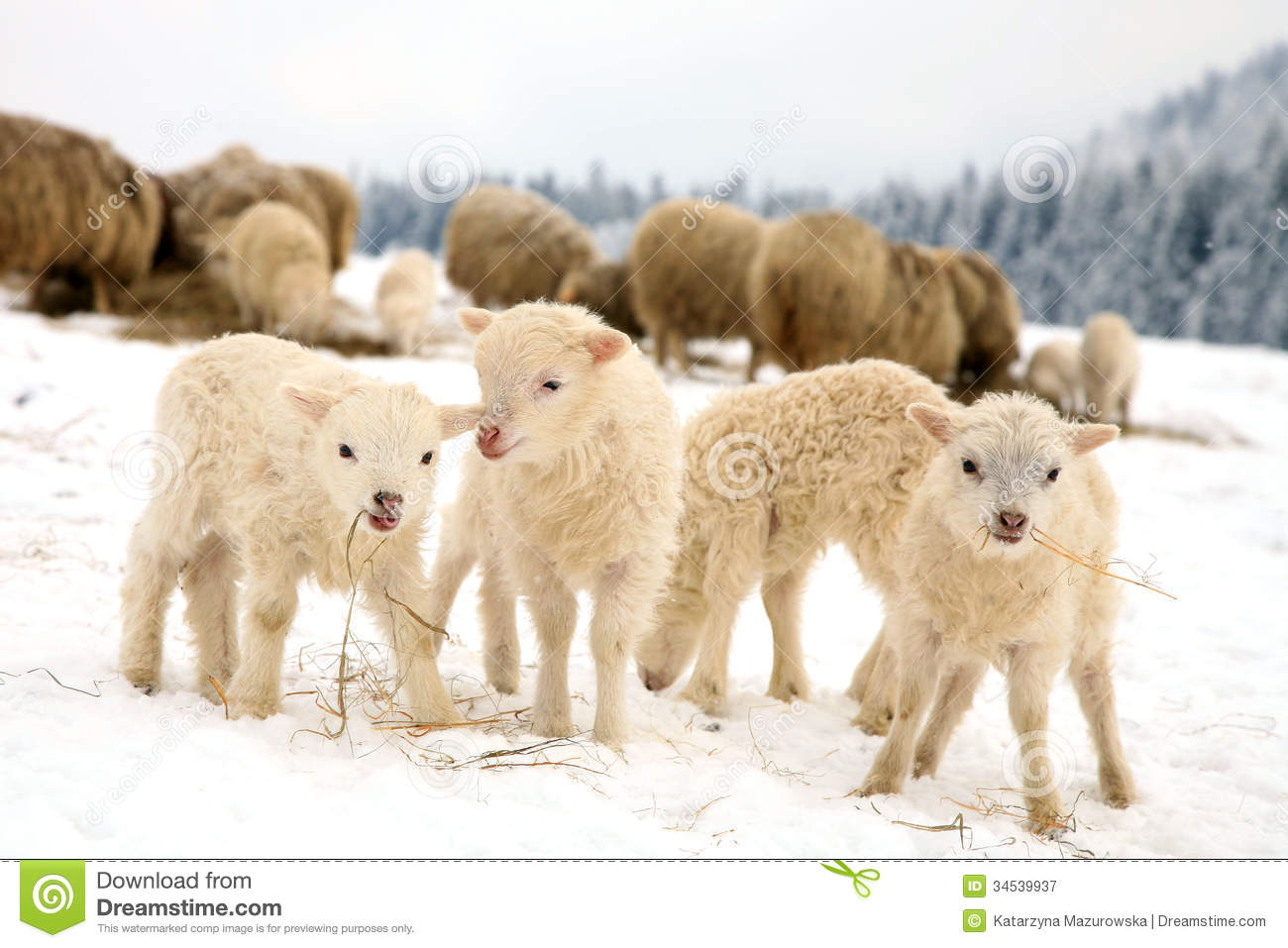 Lambs Royalty Free Stock Photography Image 34539937