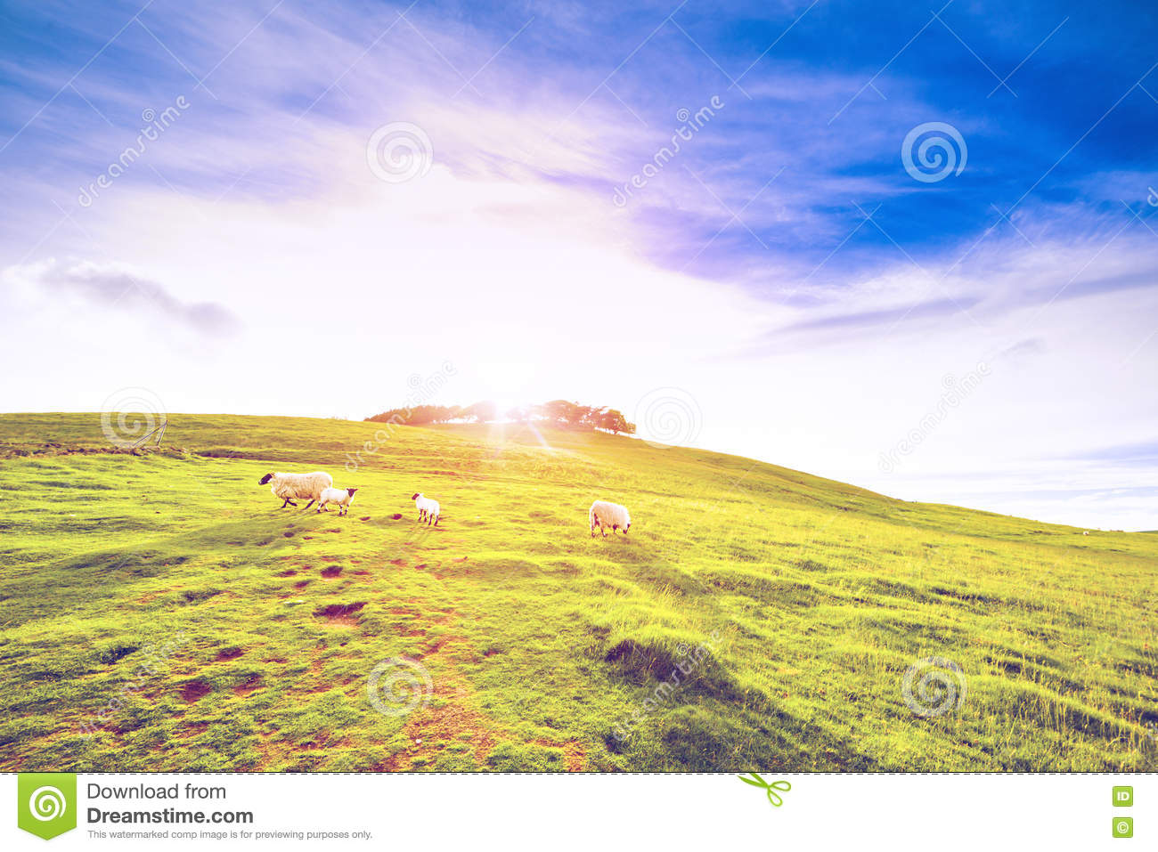 Landscape Scenery Of Green Hill Farmland Valley With Sheep