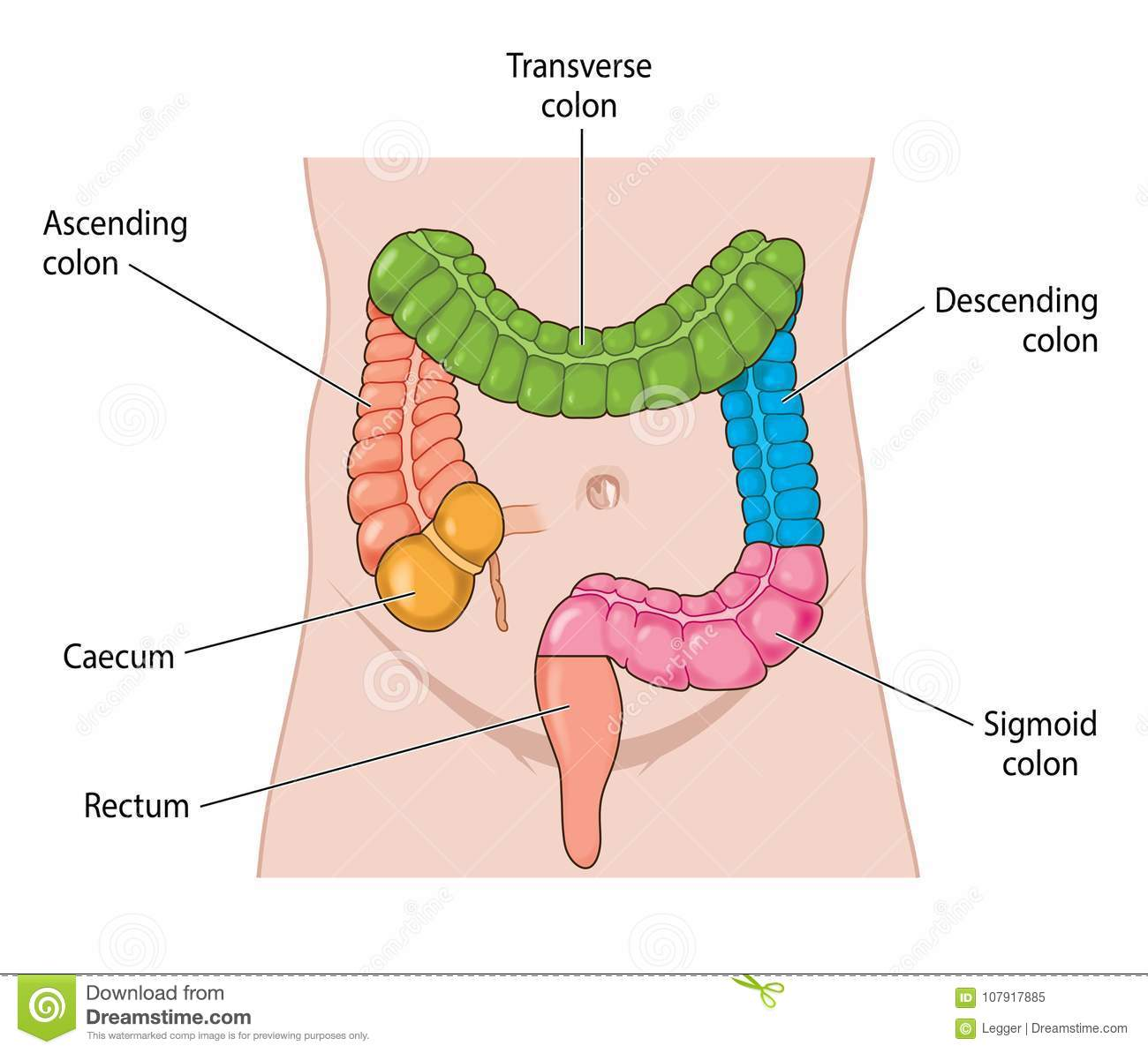 Names Areas Of The Large Intestine Stock Vector