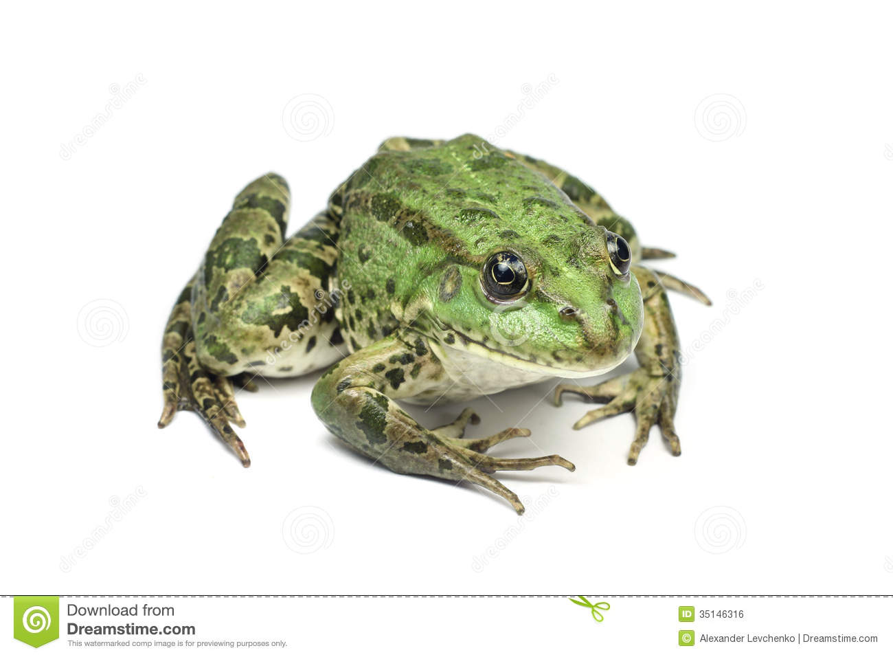 Large Light Green Speckled Frog Royalty Free Stock Image