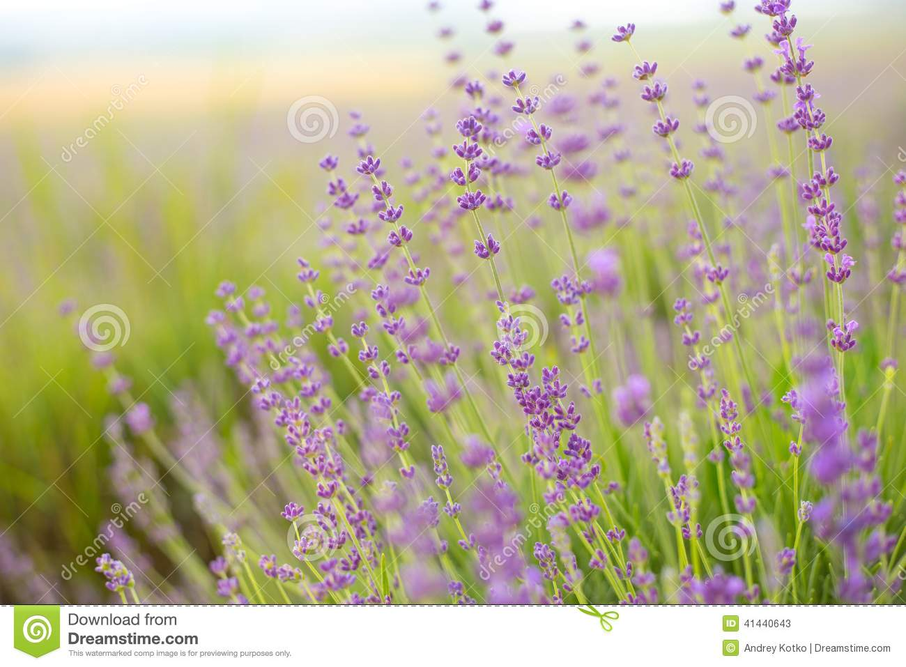Lavender Flower Field Stock Photo