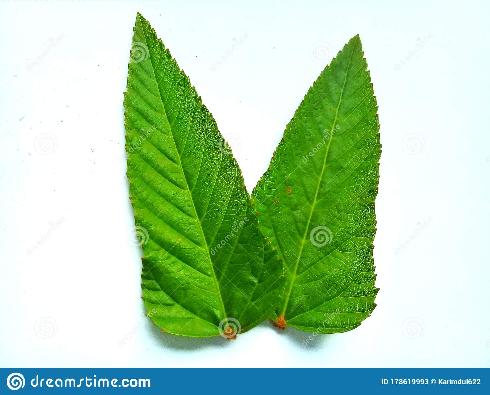 Leaf Fresh Green Color With Patterns White Background