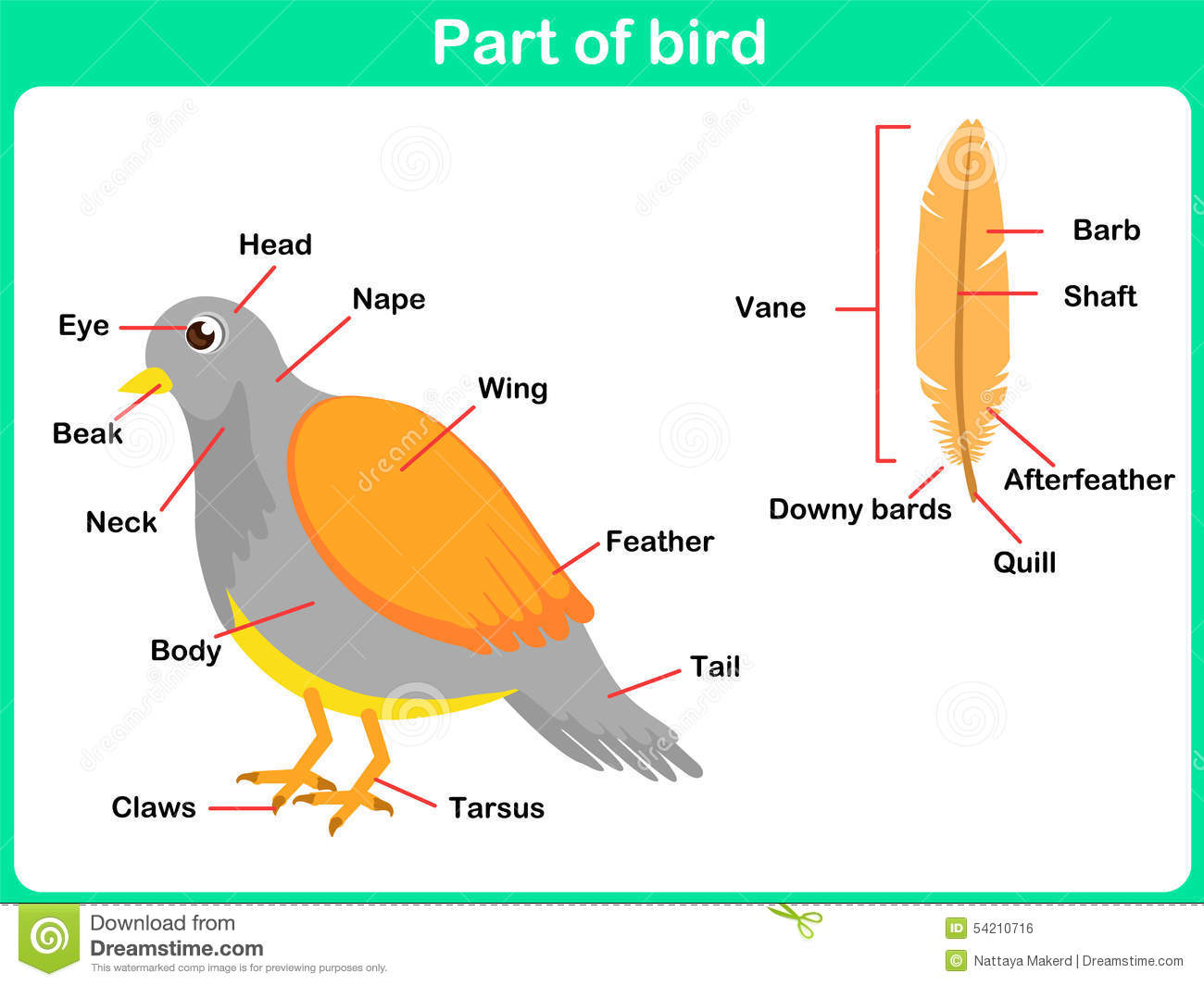 Learning Parts Of Bird For Kids