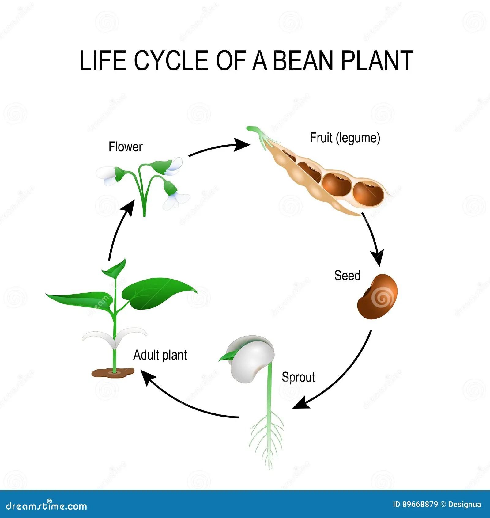 Lebenszyklus Einer Bohnenanlage Vektor Abbildung